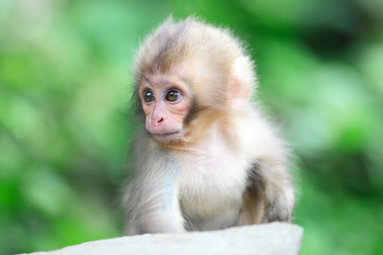 monkey deskto