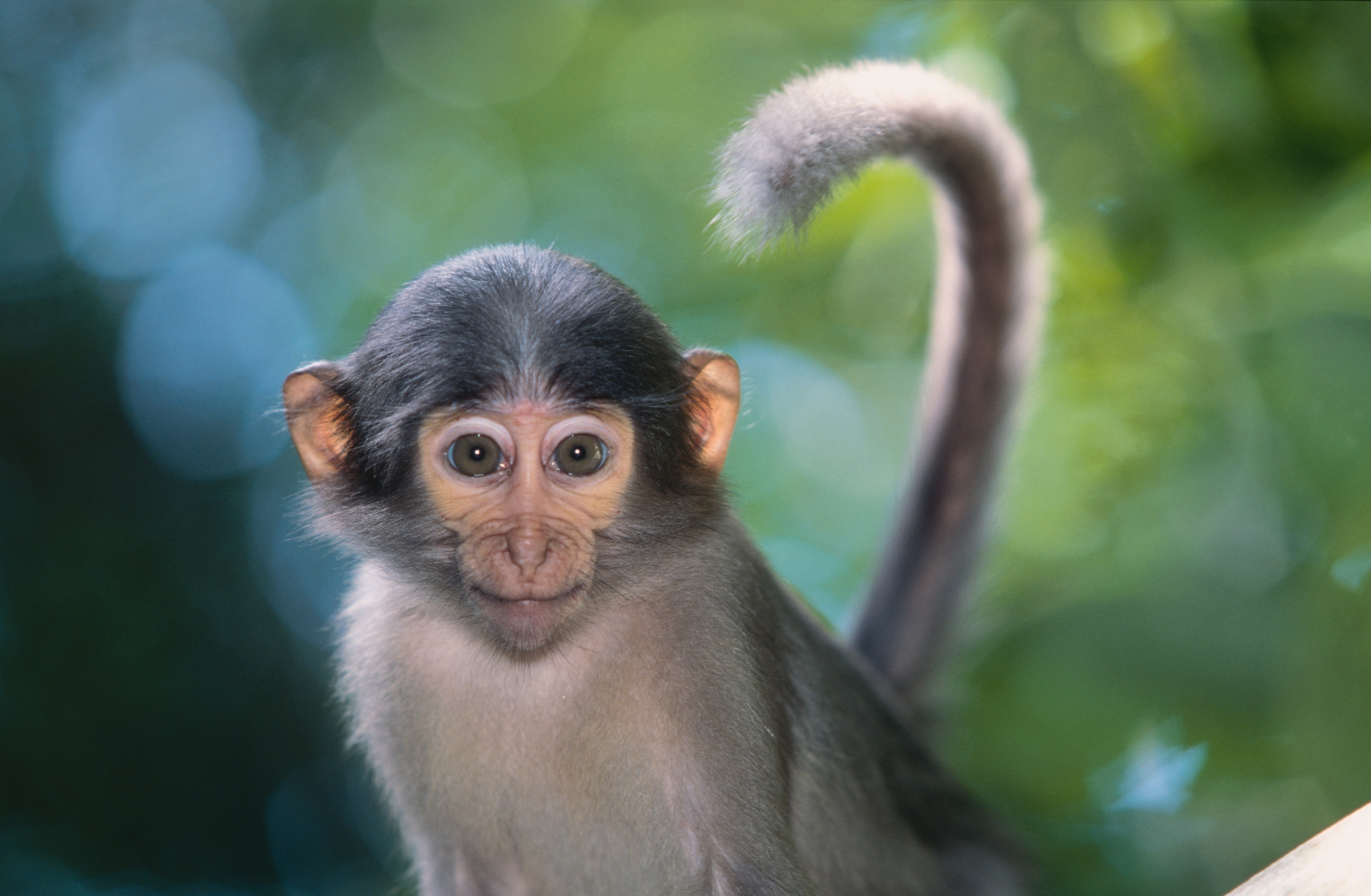 monkey wallpapers hd