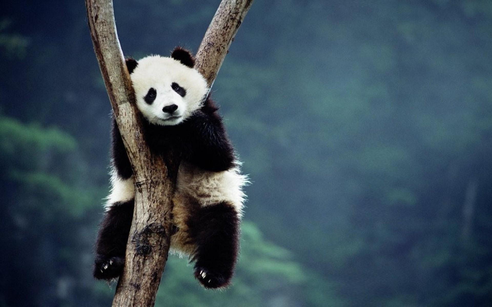 panda deskto