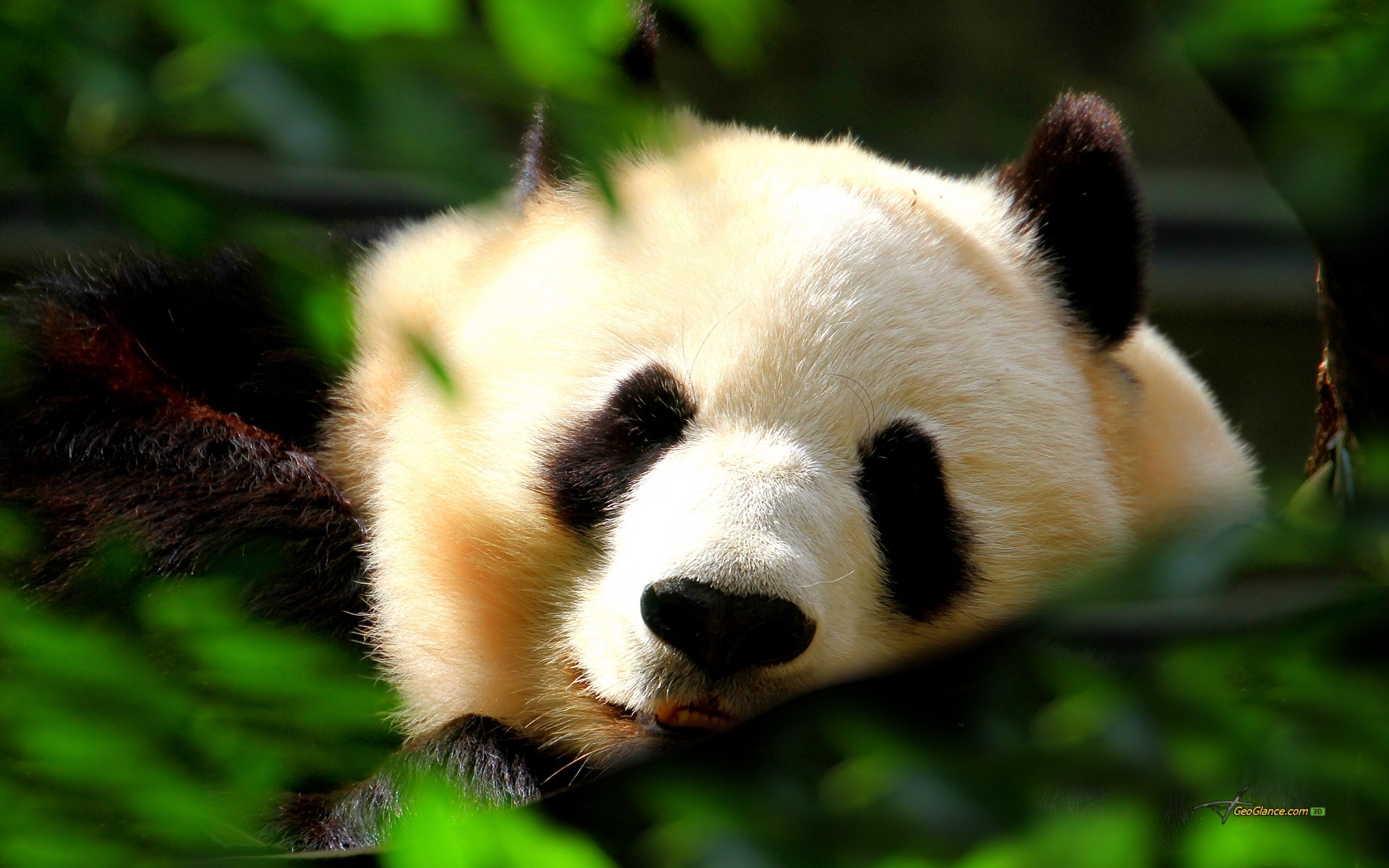 panda free wallpapers