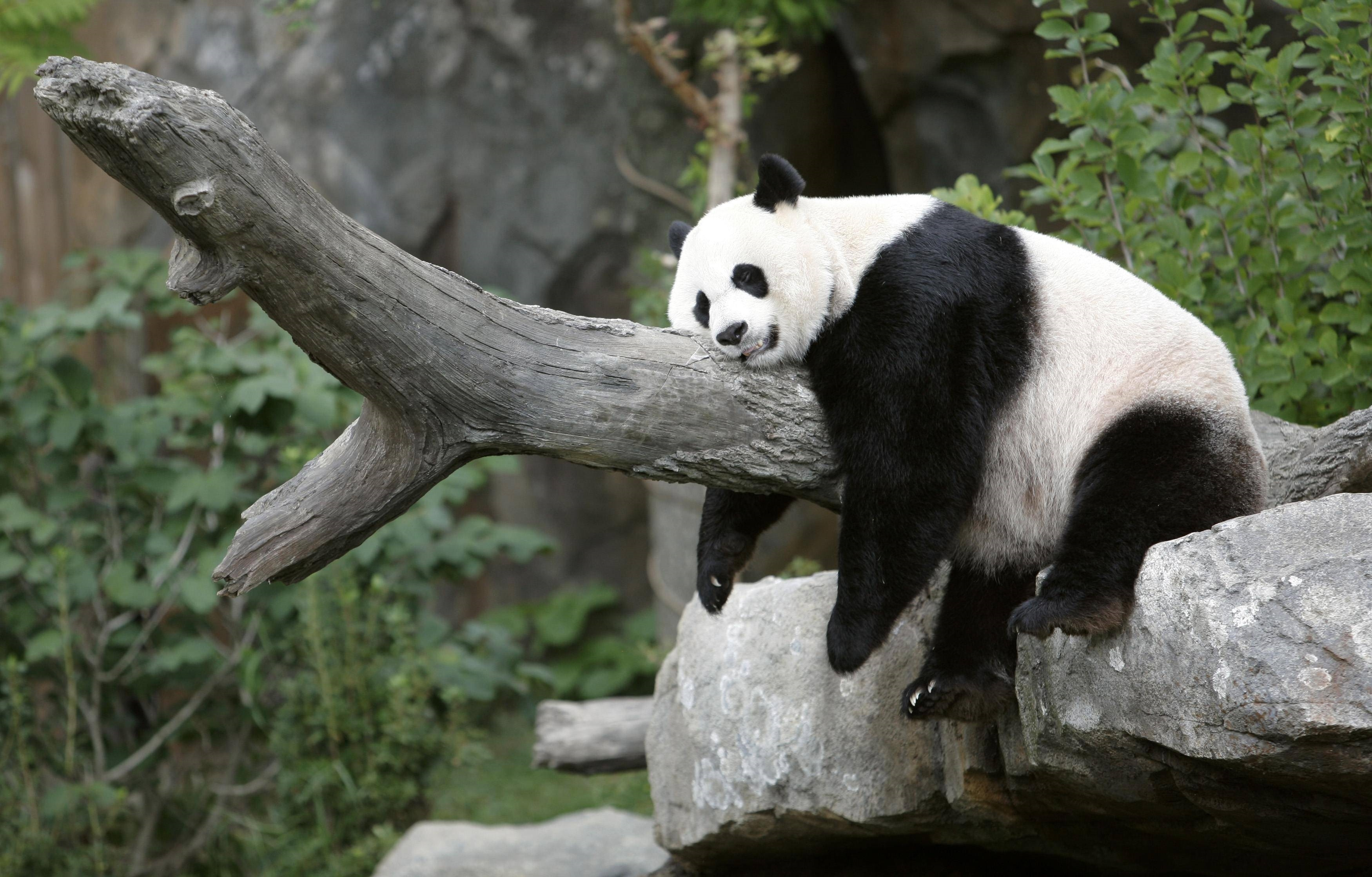 panda hd background
