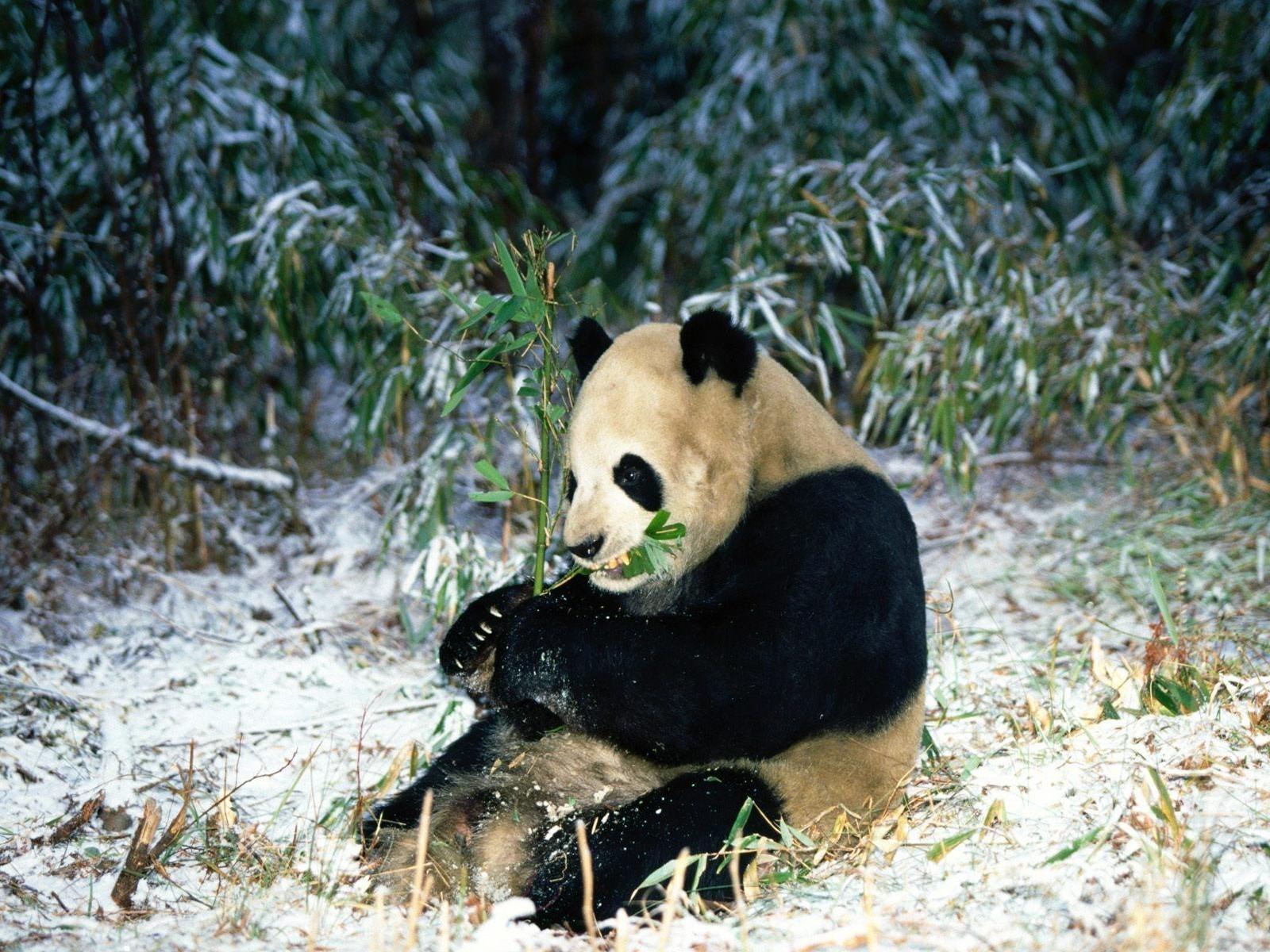panda hd deskto