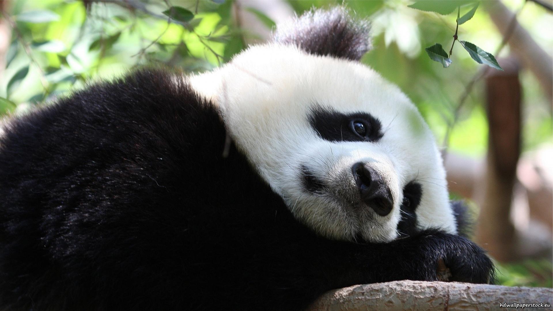 panda hd pics