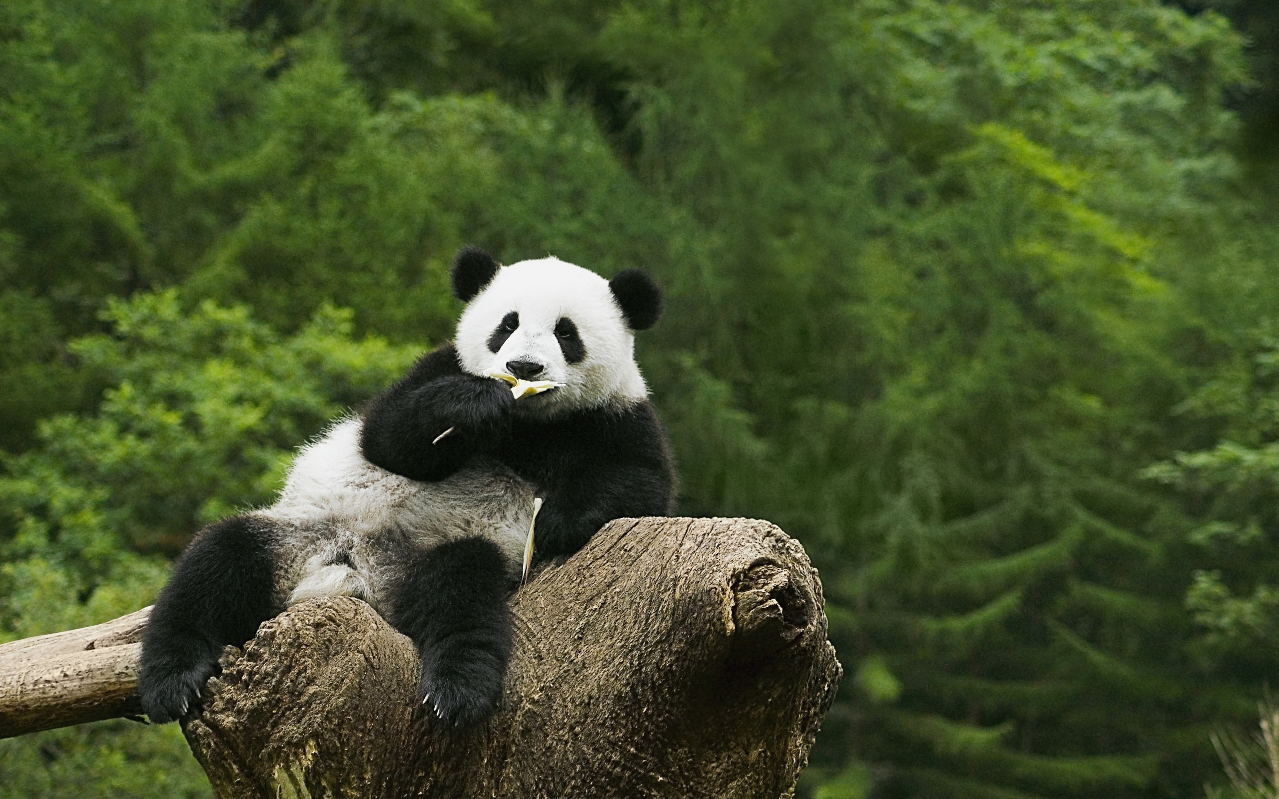 panda high quality wallpapers
