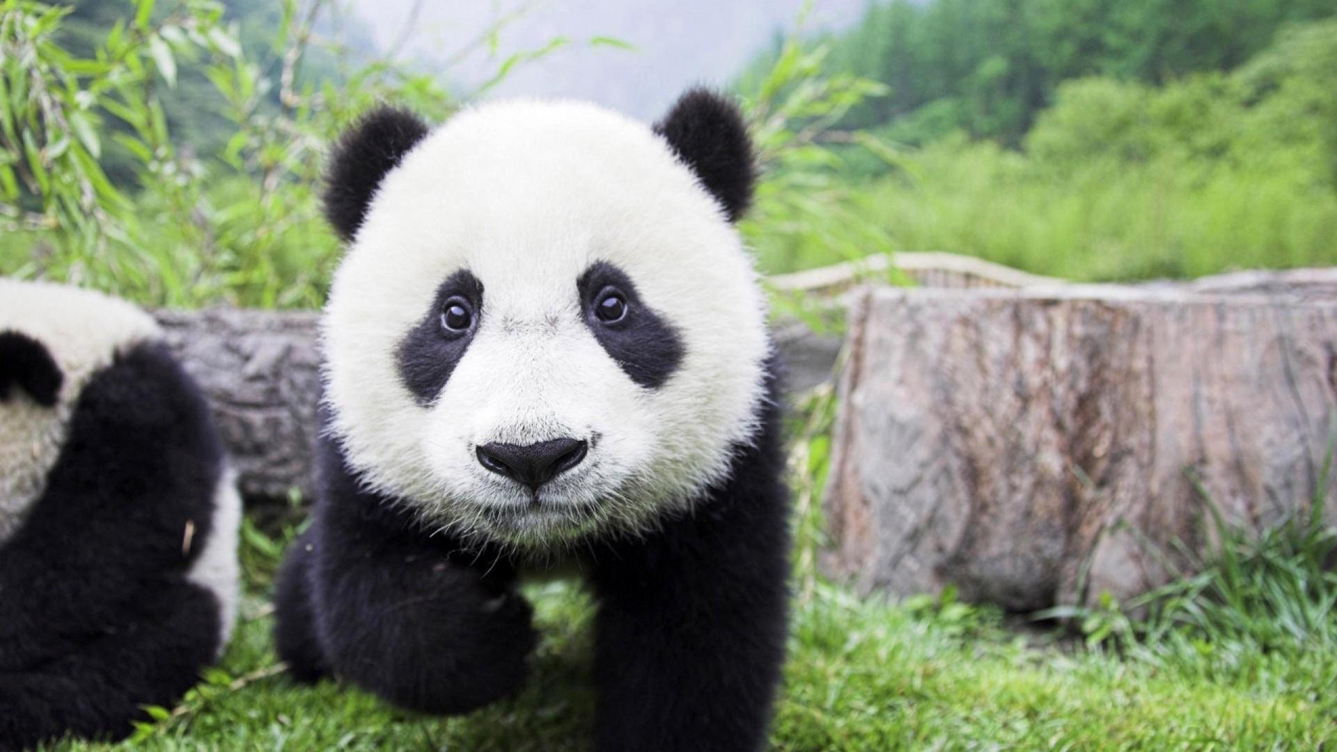 panda normal
