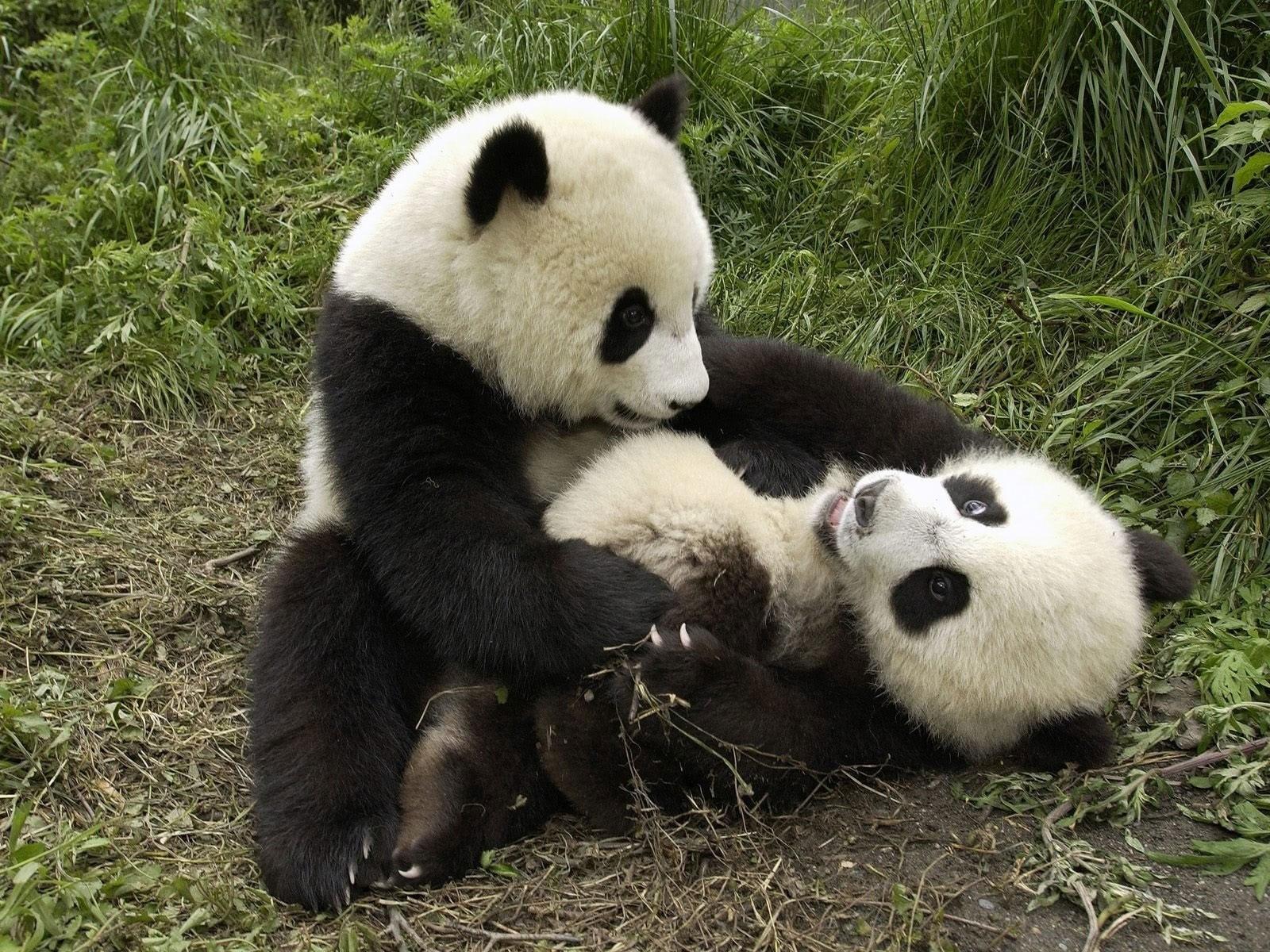 panda wallpapers for deskto
