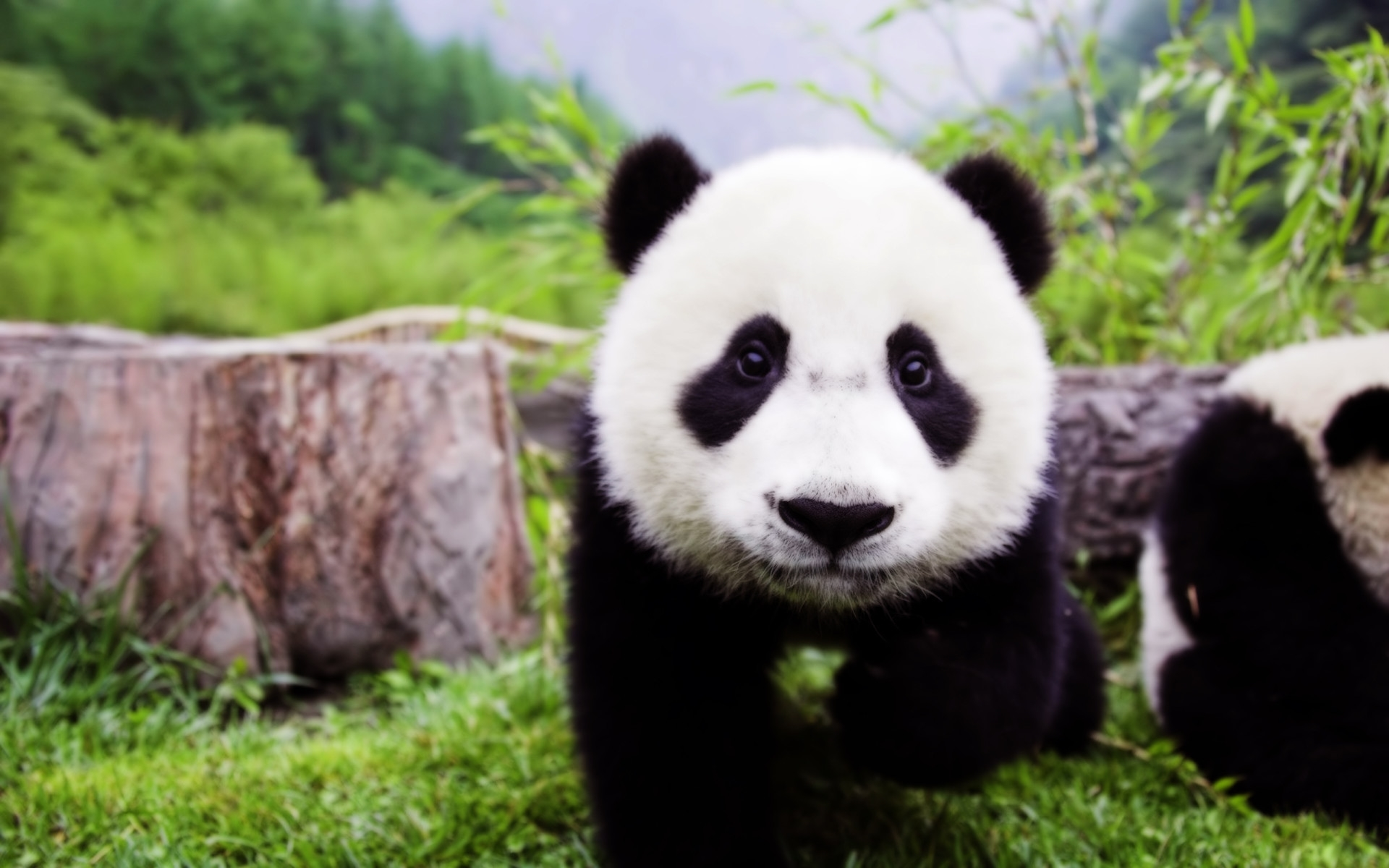 panda widescreen