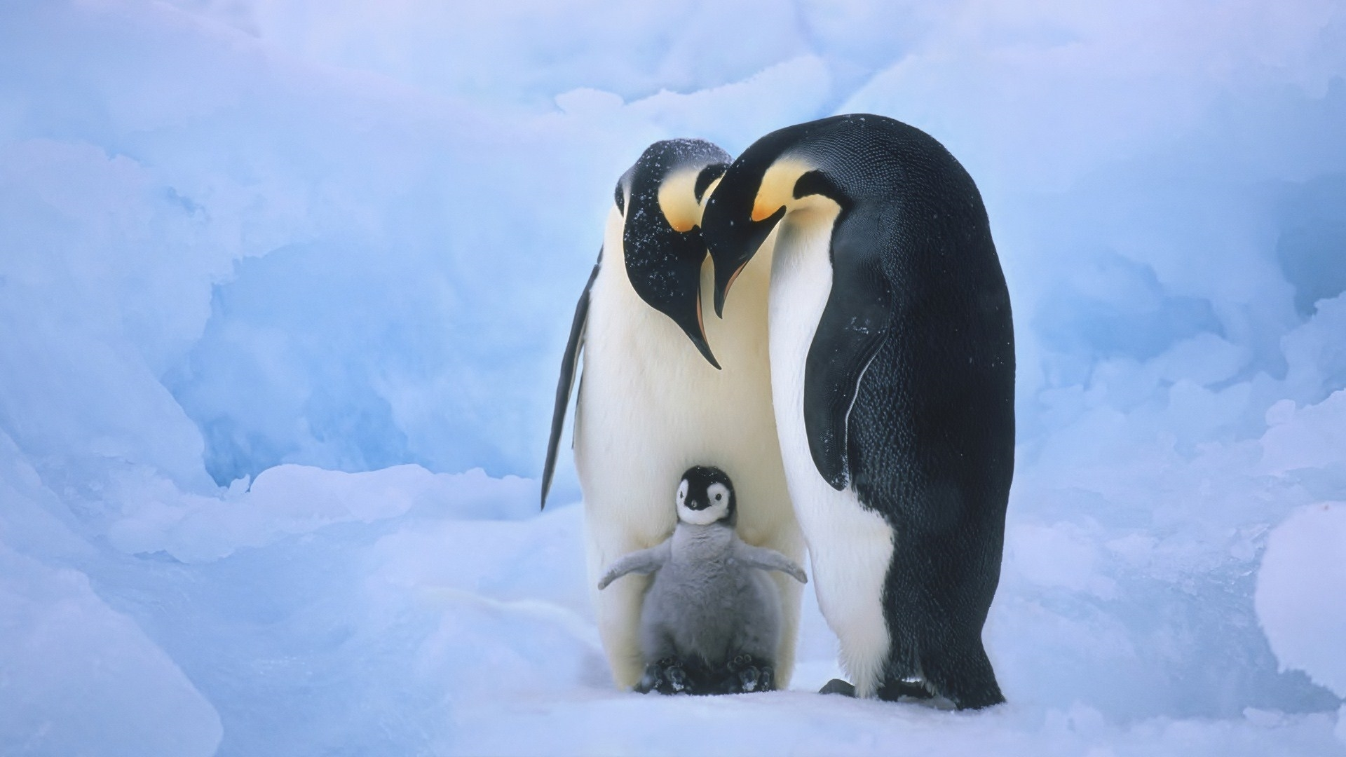 penguin hd deskto