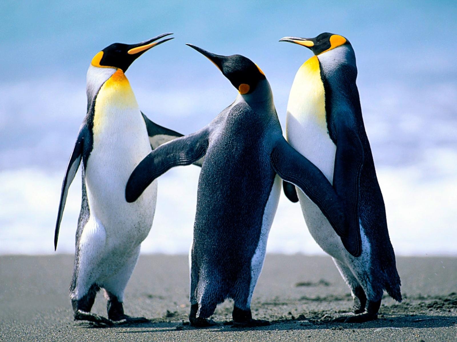 penguin hd photos