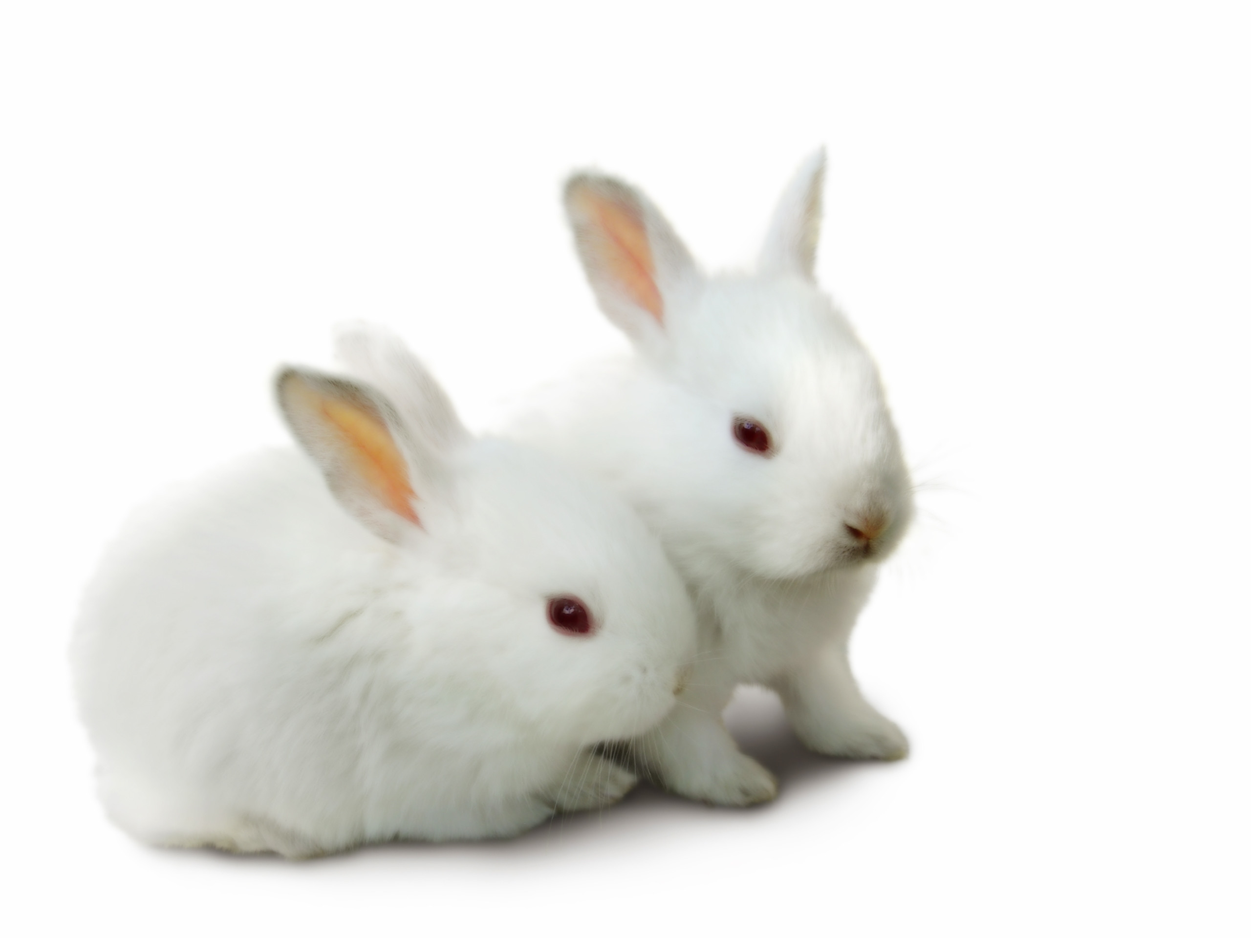 rabbit deskto