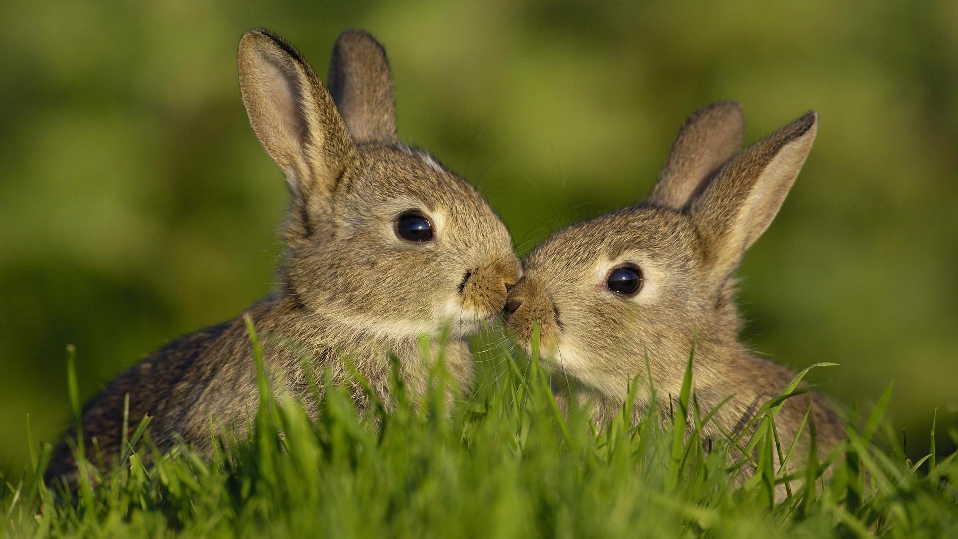rabbit hd deskto