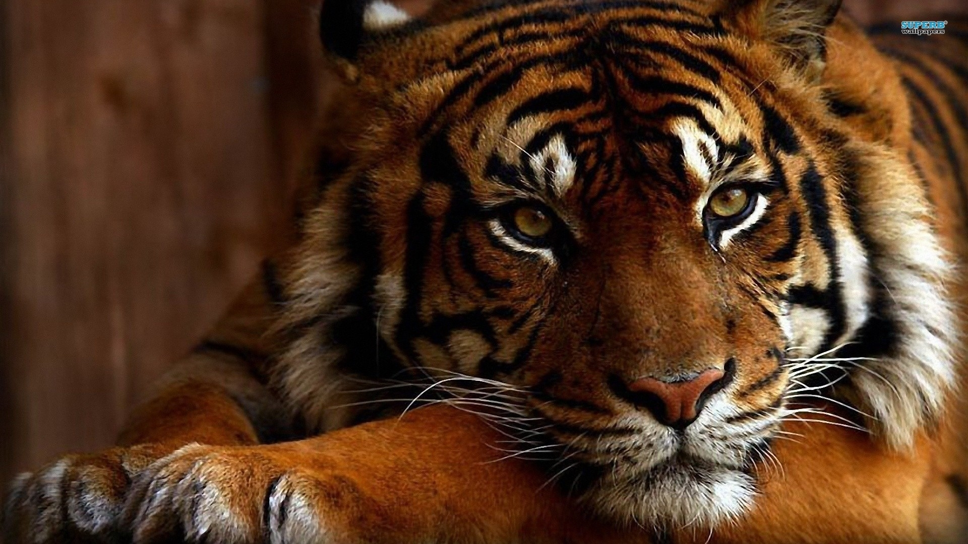tiger free wallpapers