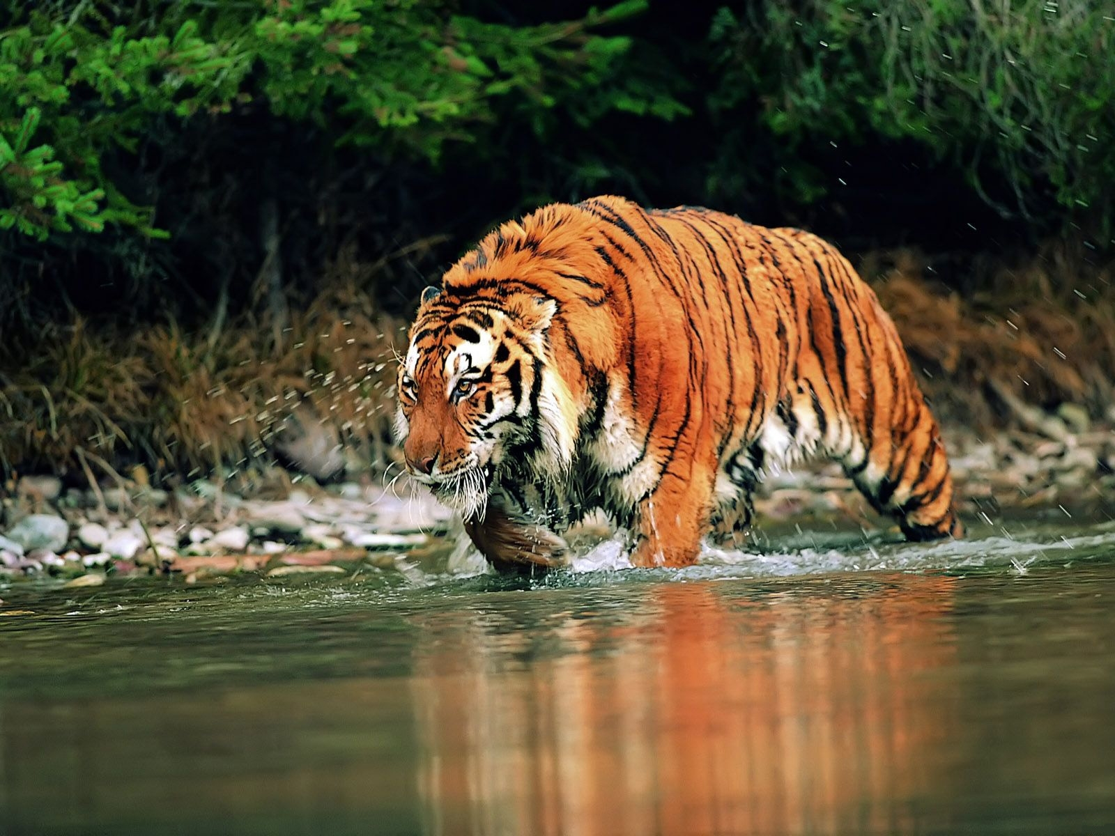 tiger free