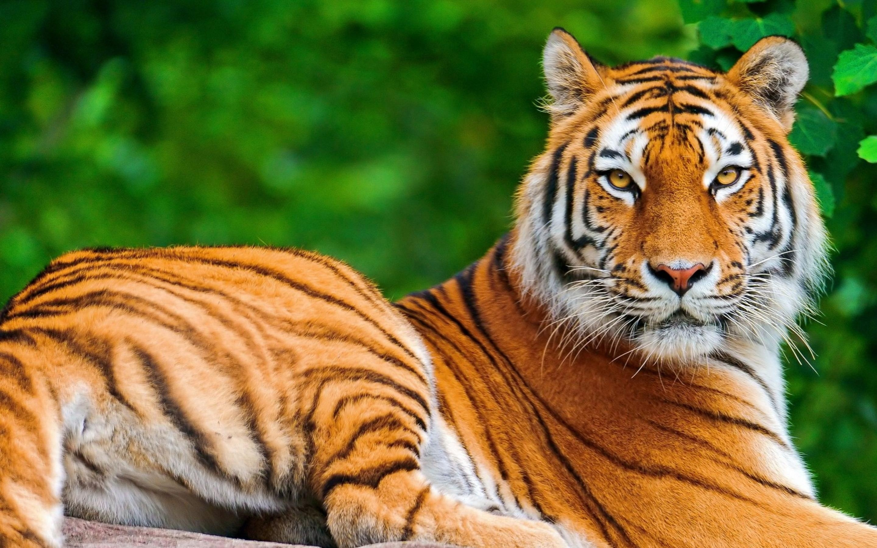 tiger full hd bachround