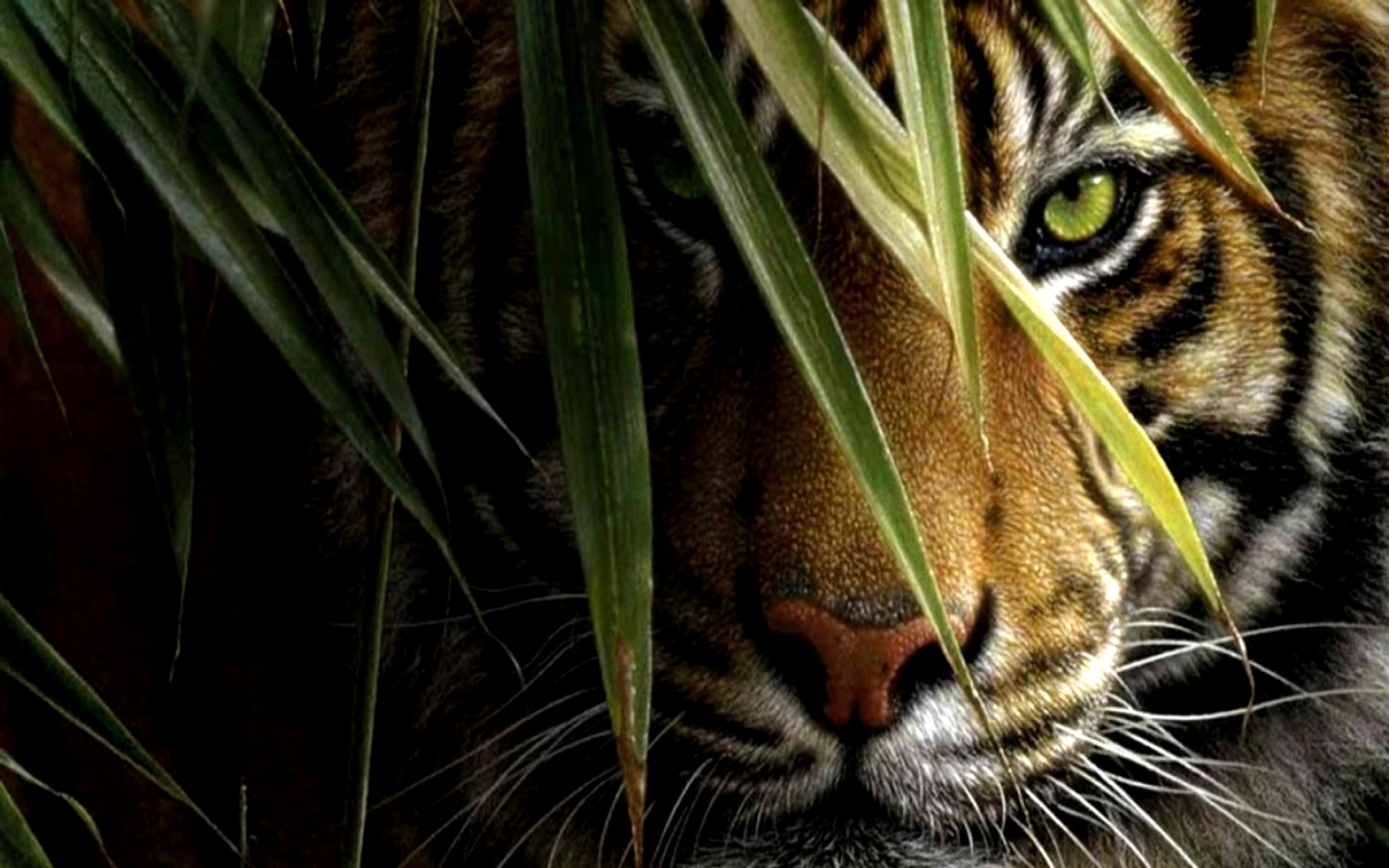 tiger full hd wallpaper