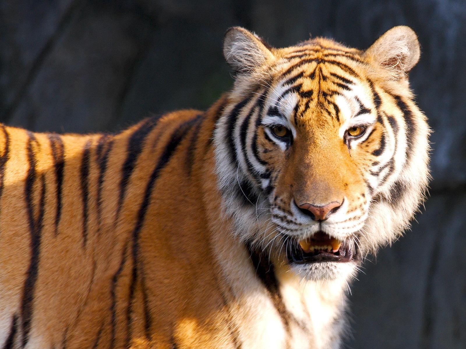 tiger new photos
