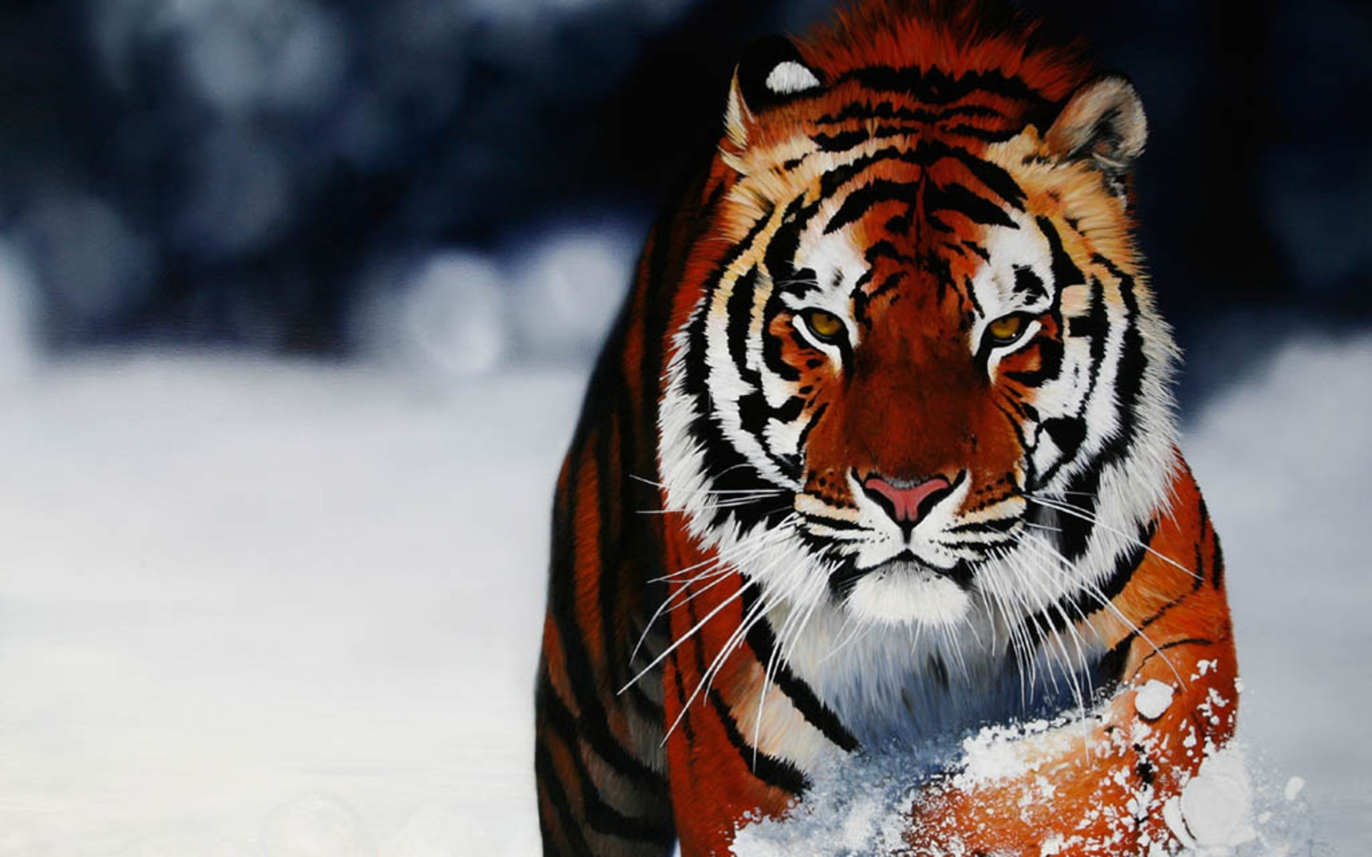 tiger new wallpapers