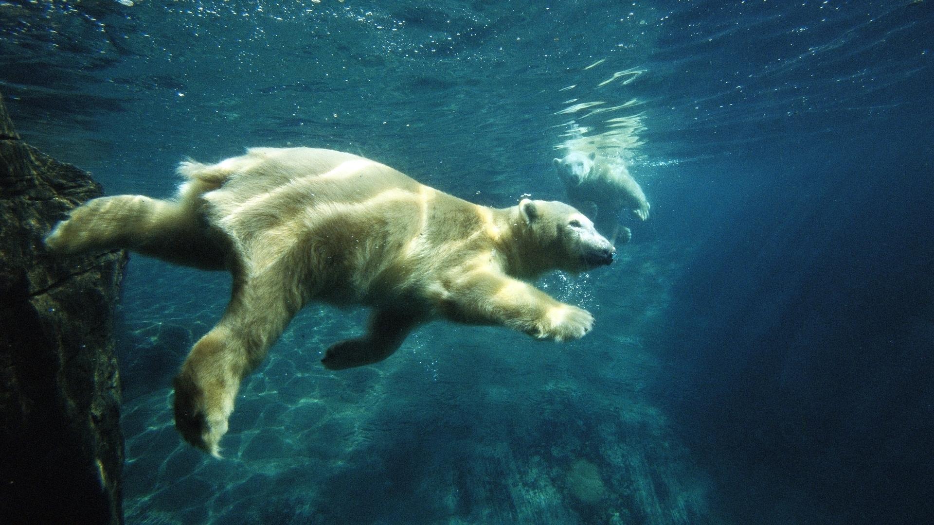 white bear deskto