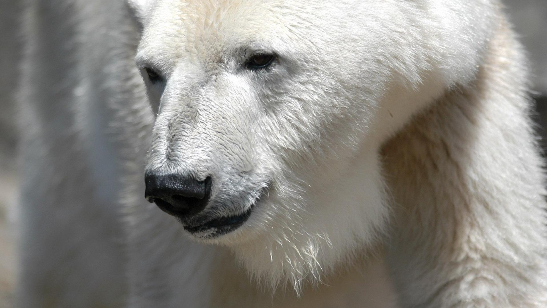 white bear free