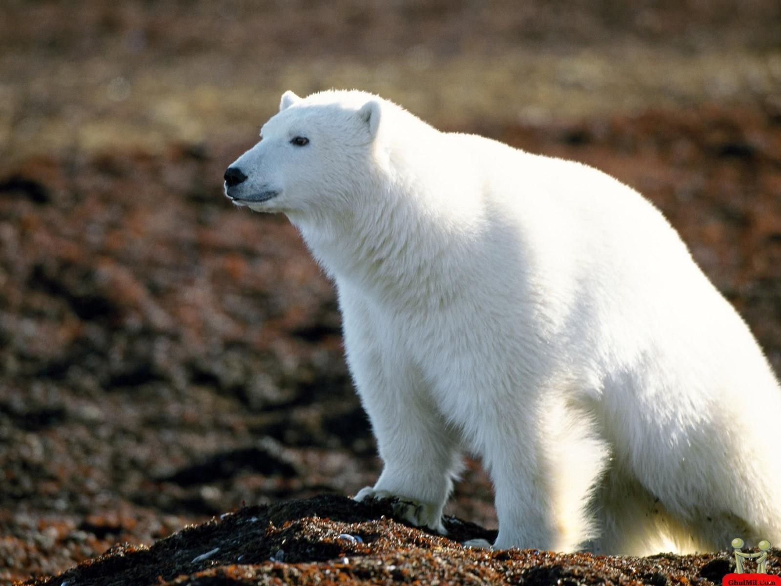 white bear image
