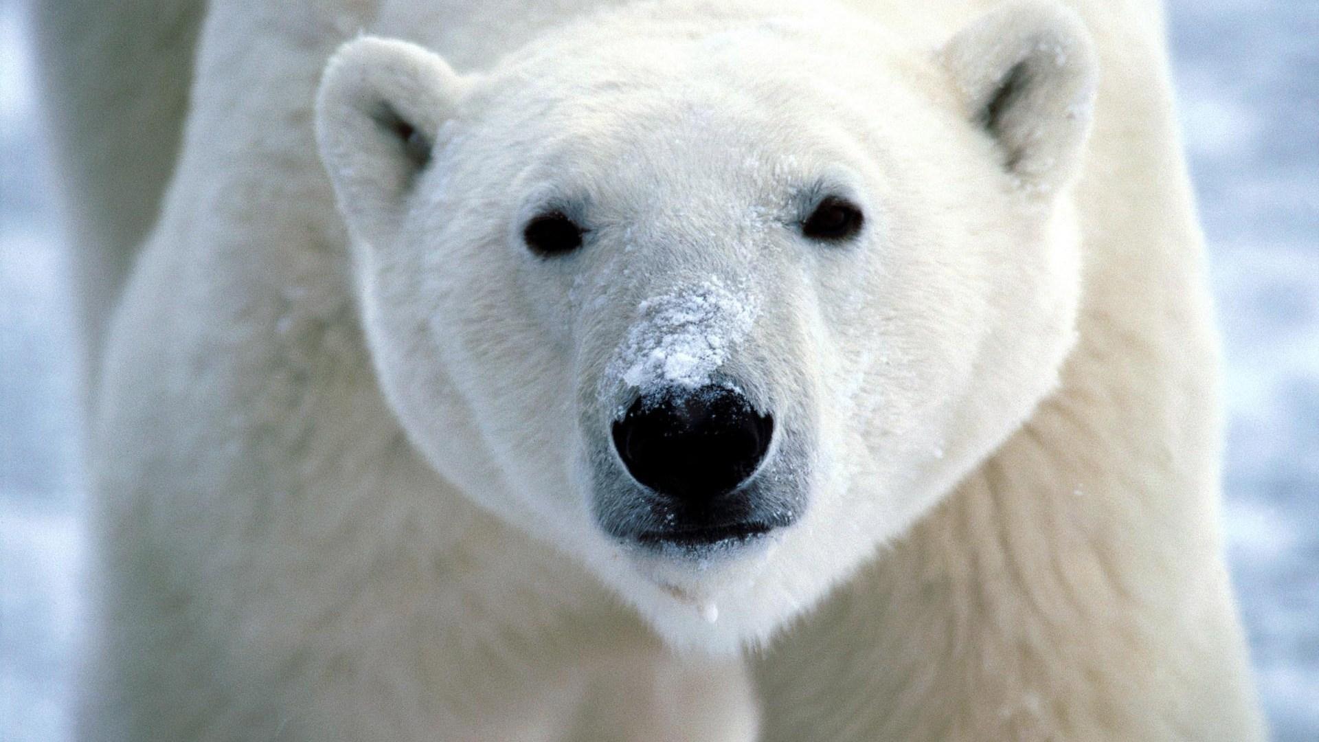 white bear pic