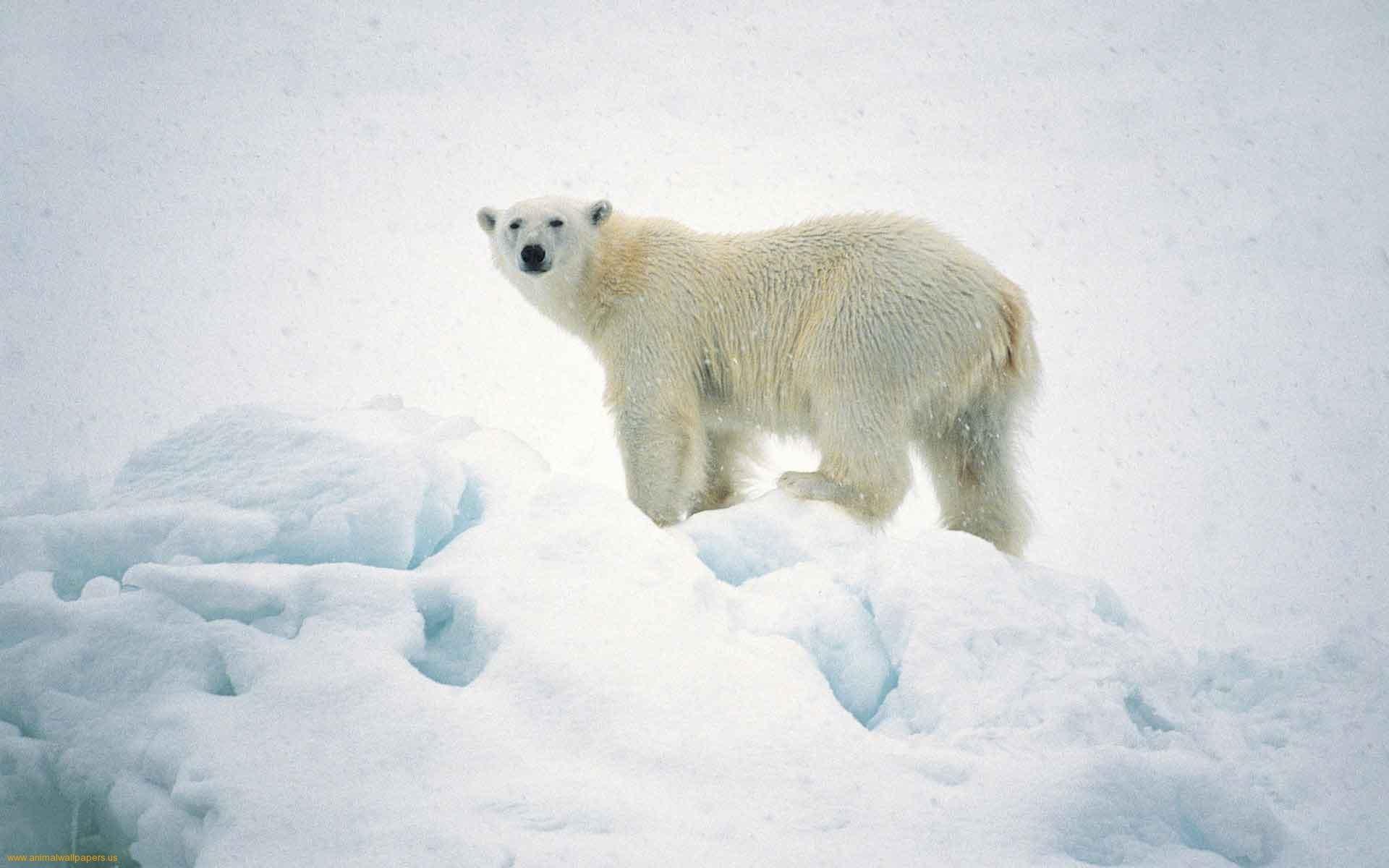 white bear pics