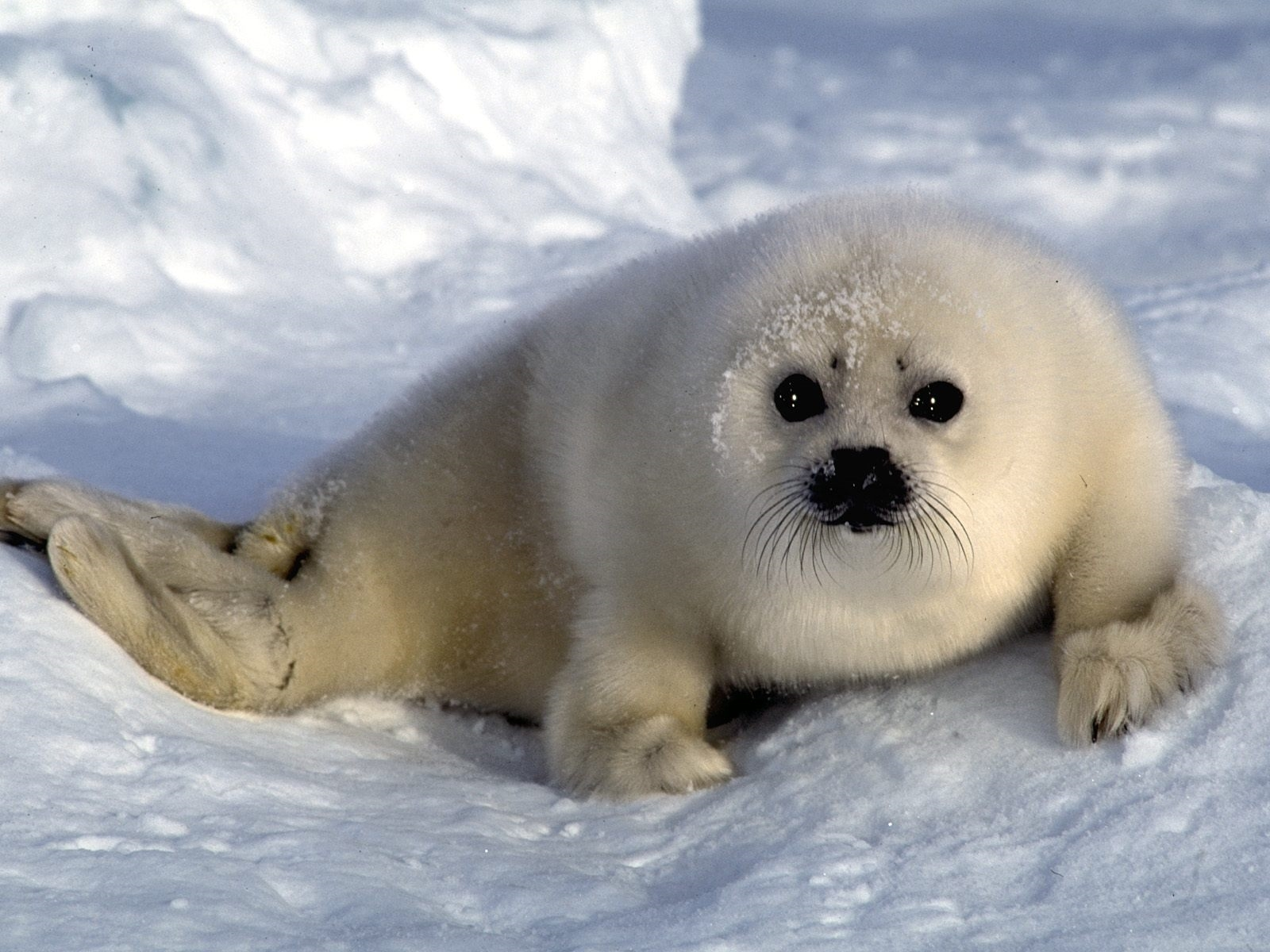 white seal download wallpaper