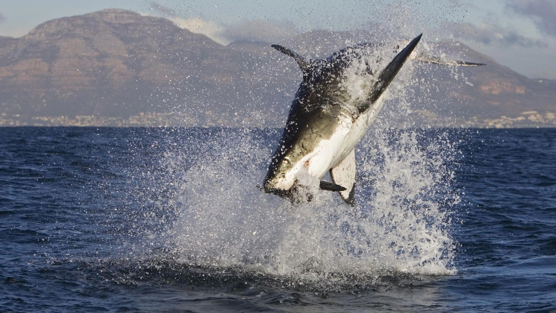 white seal free