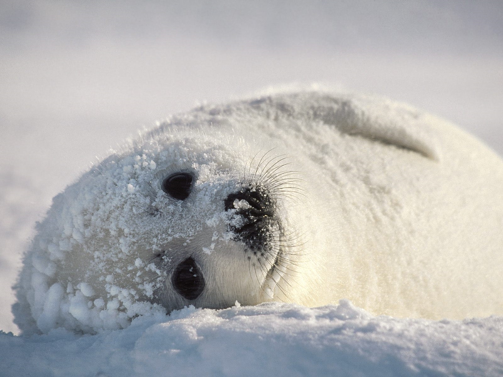 white seal hd background