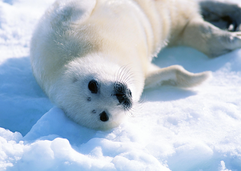 white seal hd photos