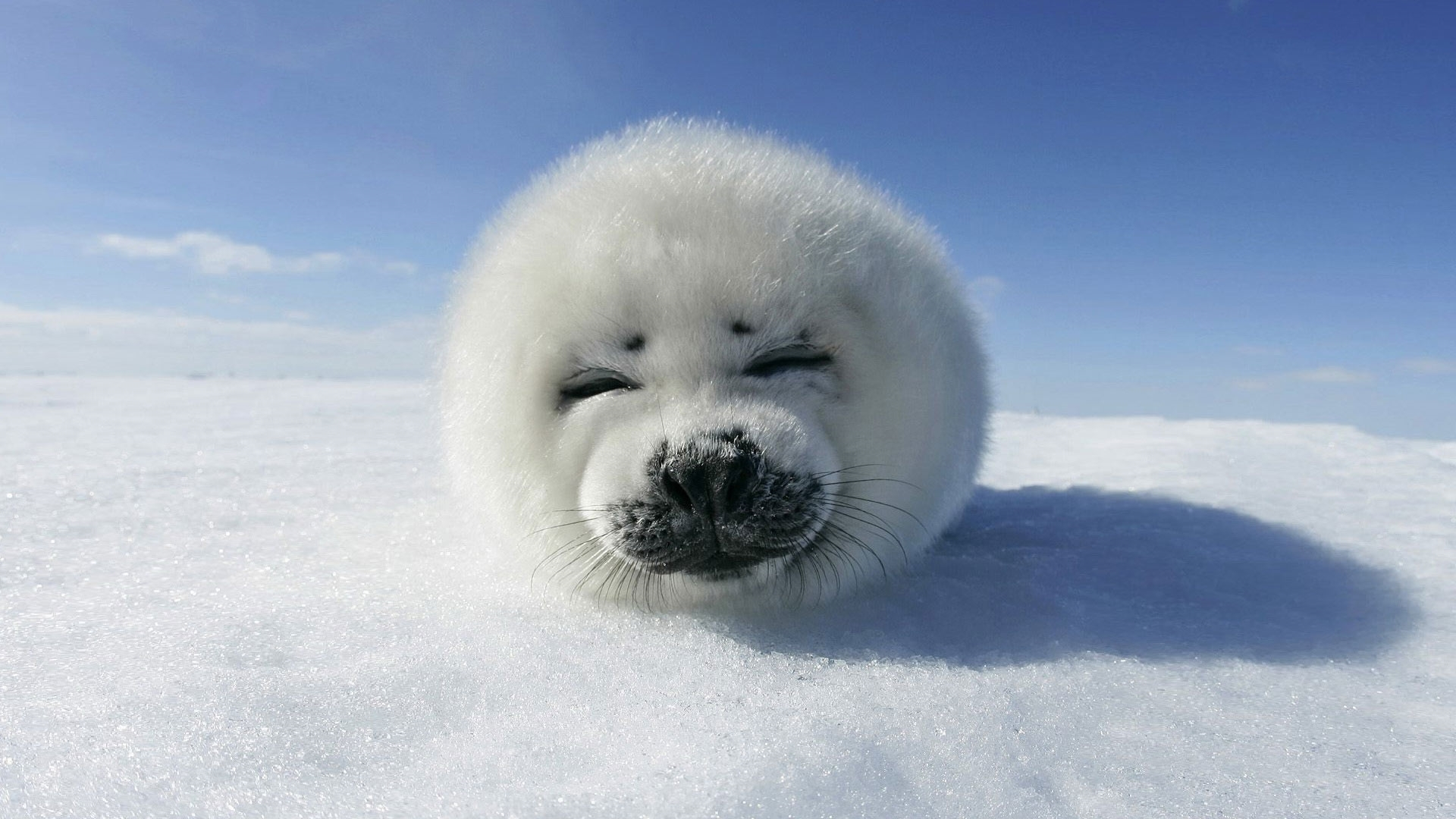 white seal high definition wallpapers
