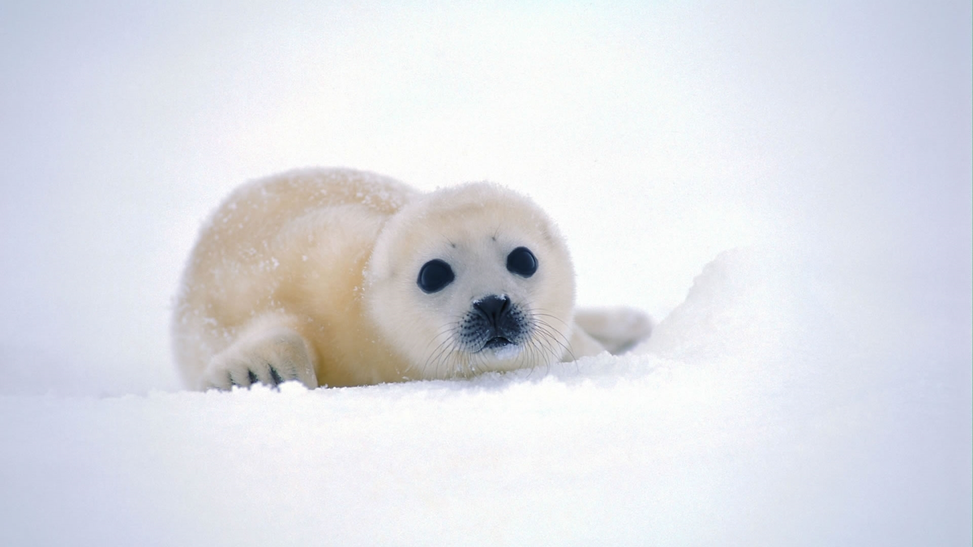 white seal photo