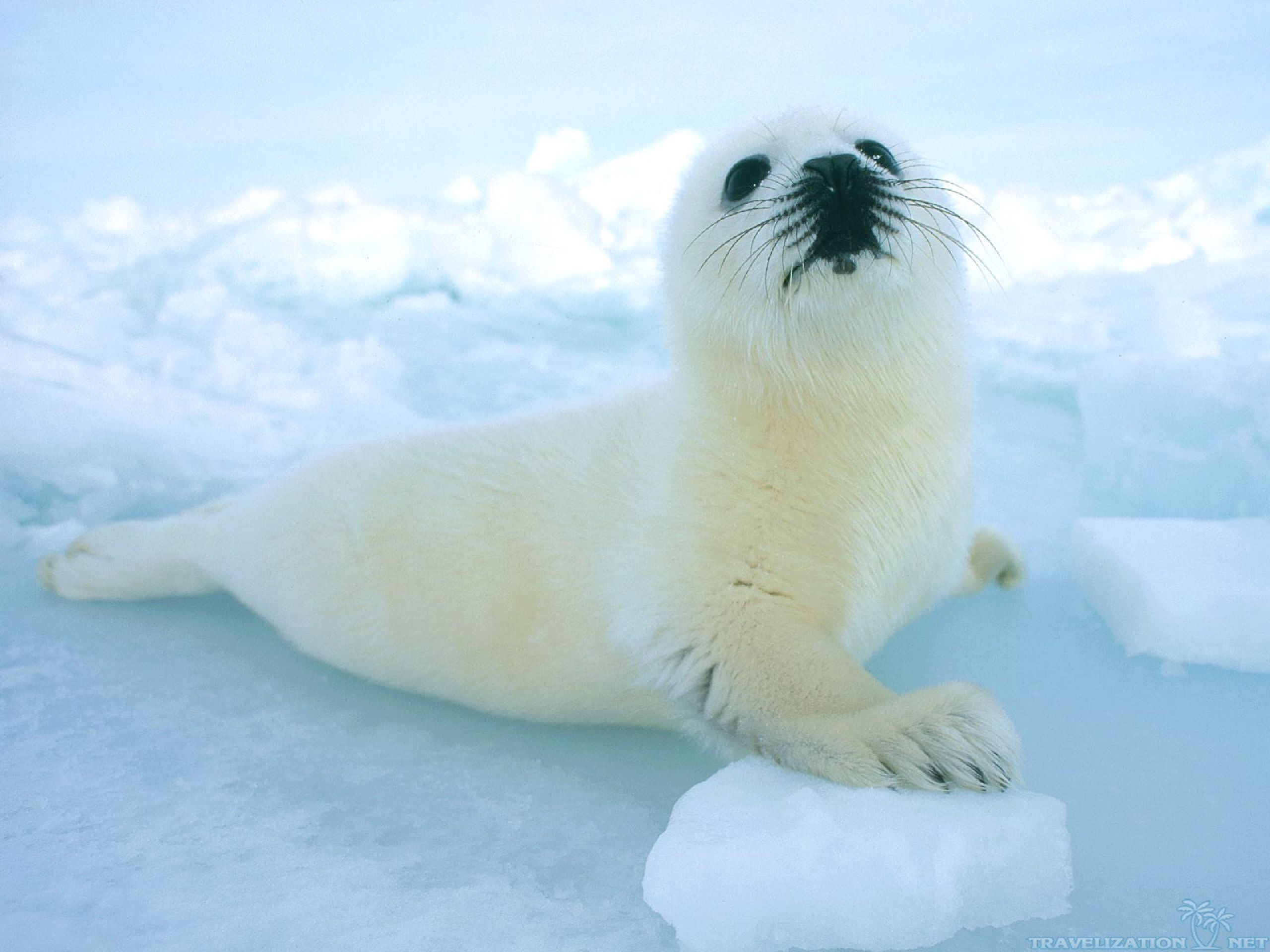 white seal photos