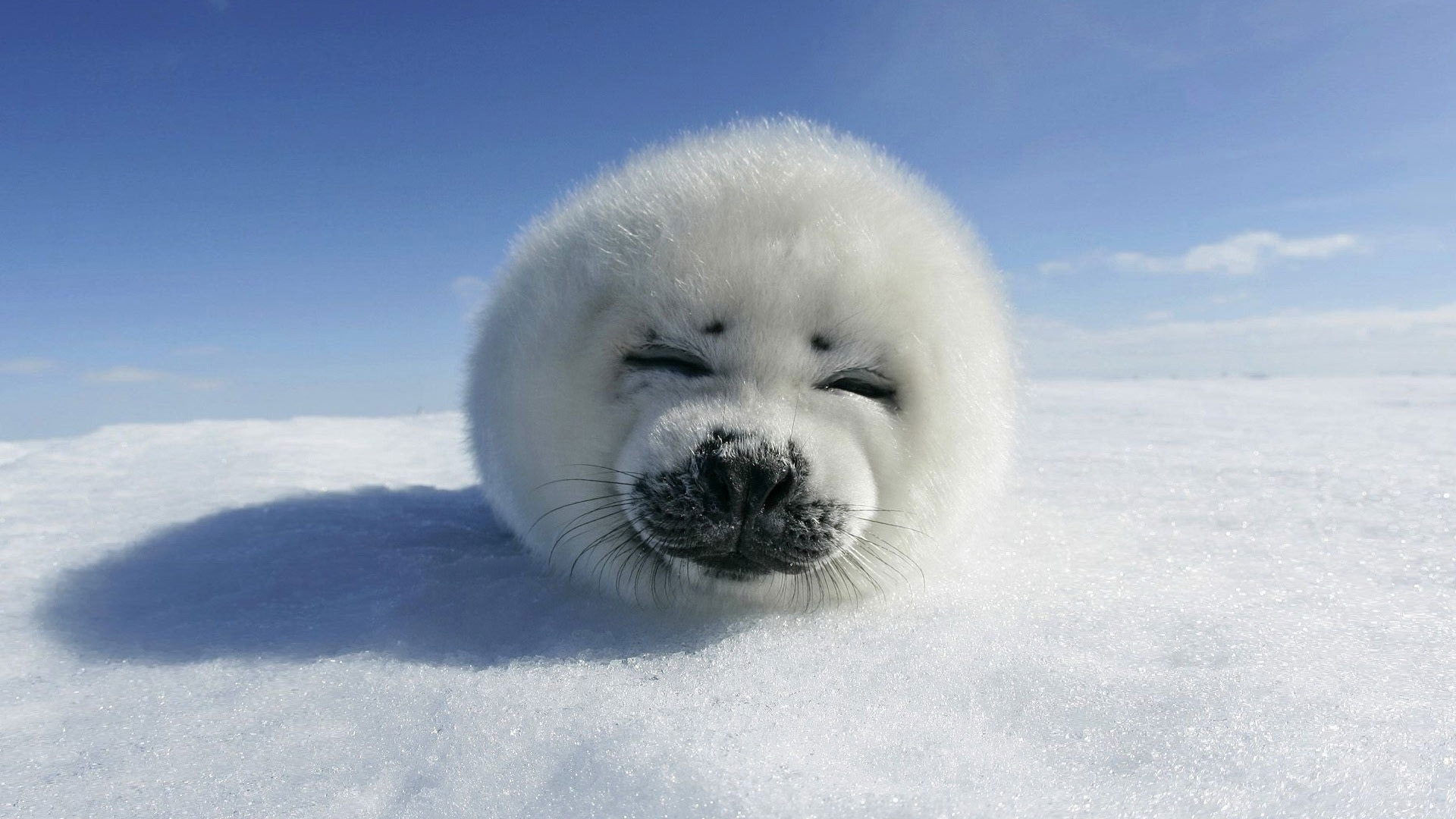 white seal pics