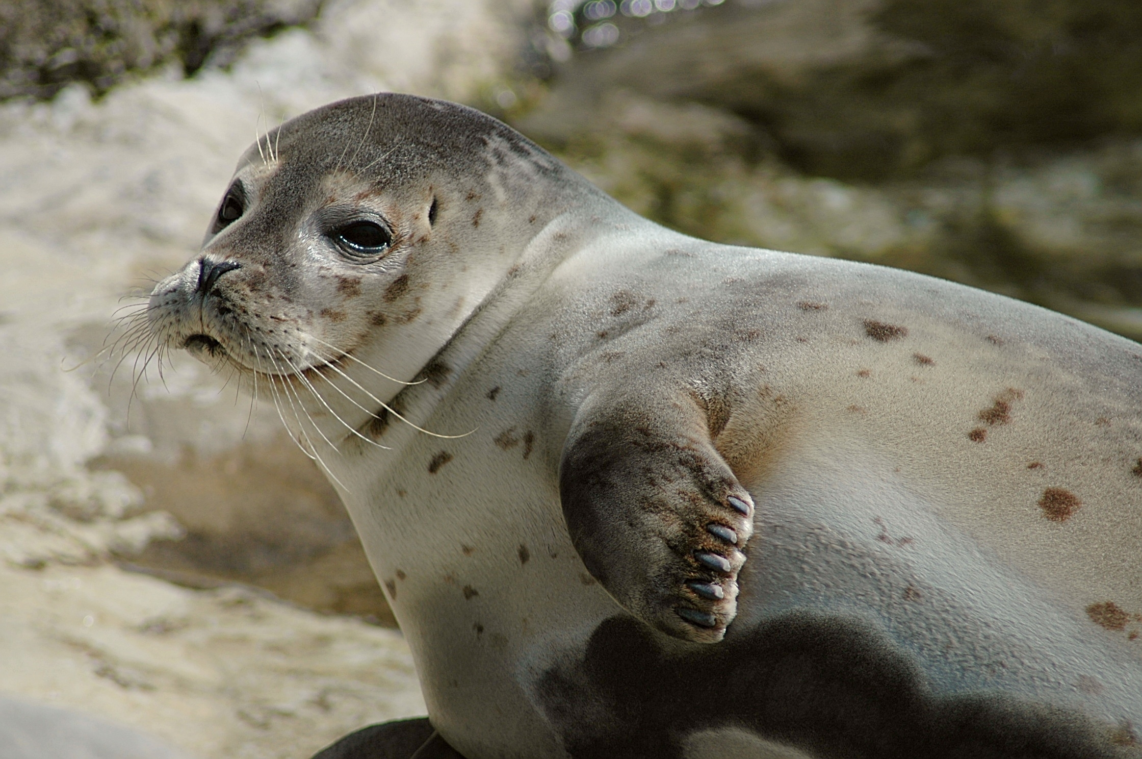 white seal wallpapers hd