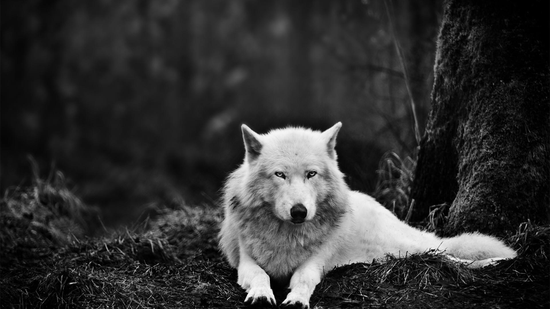 wolf 1080