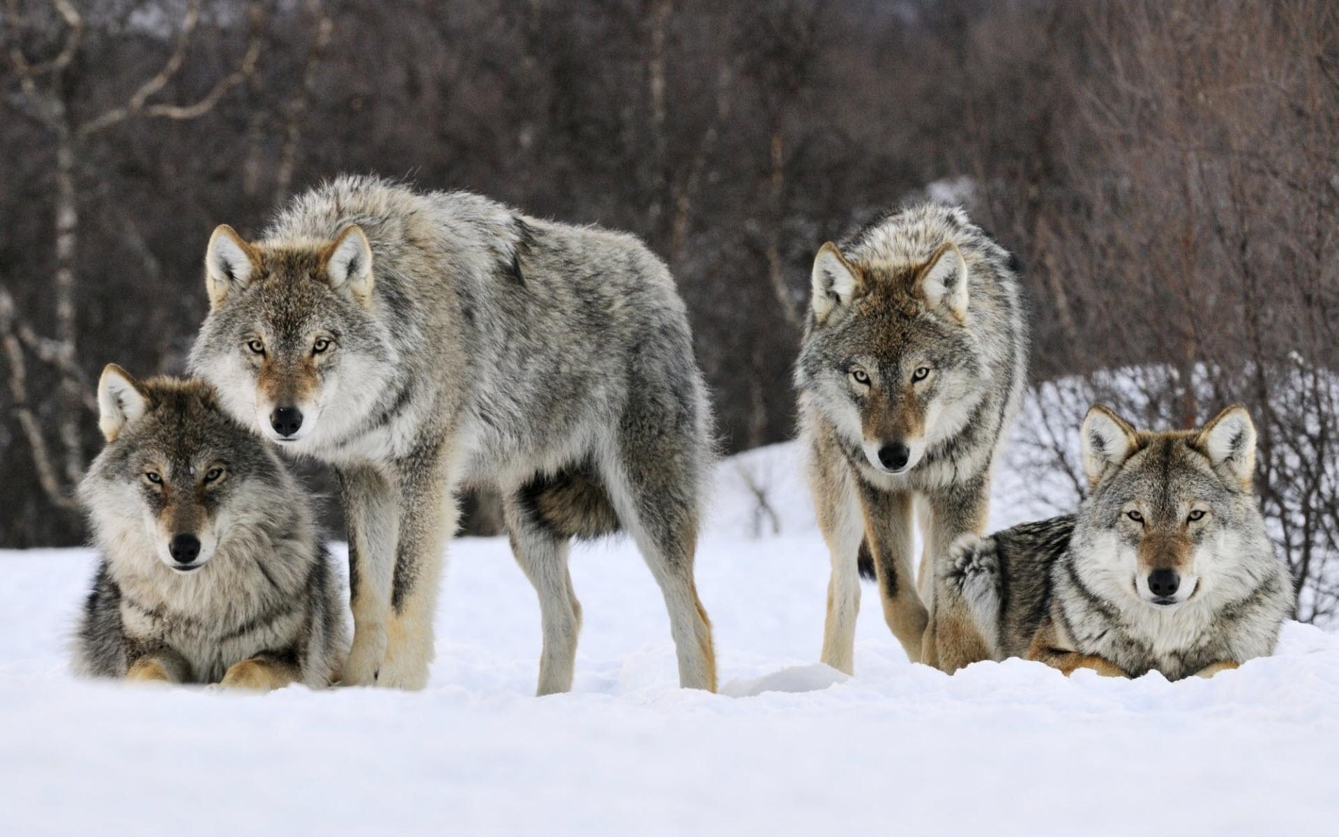 wolf hd 1080