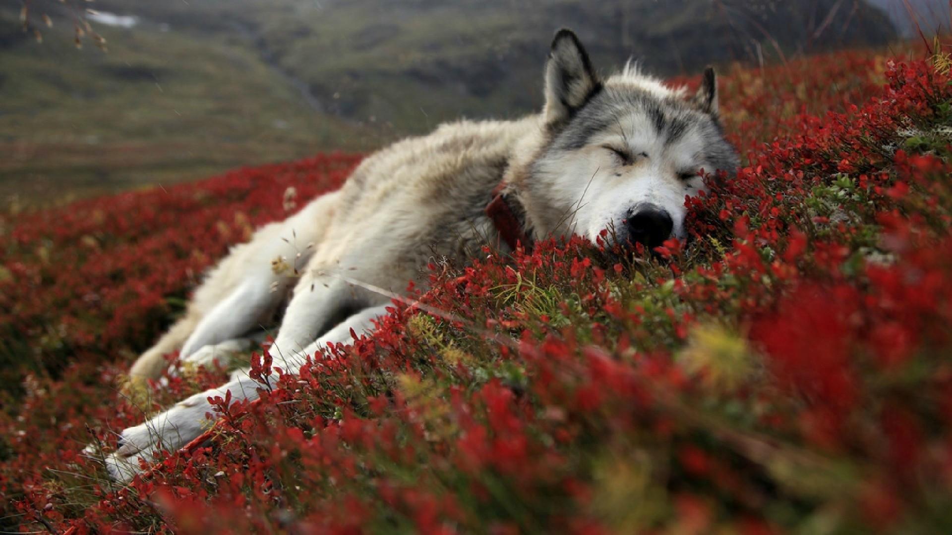 wolf hd photos