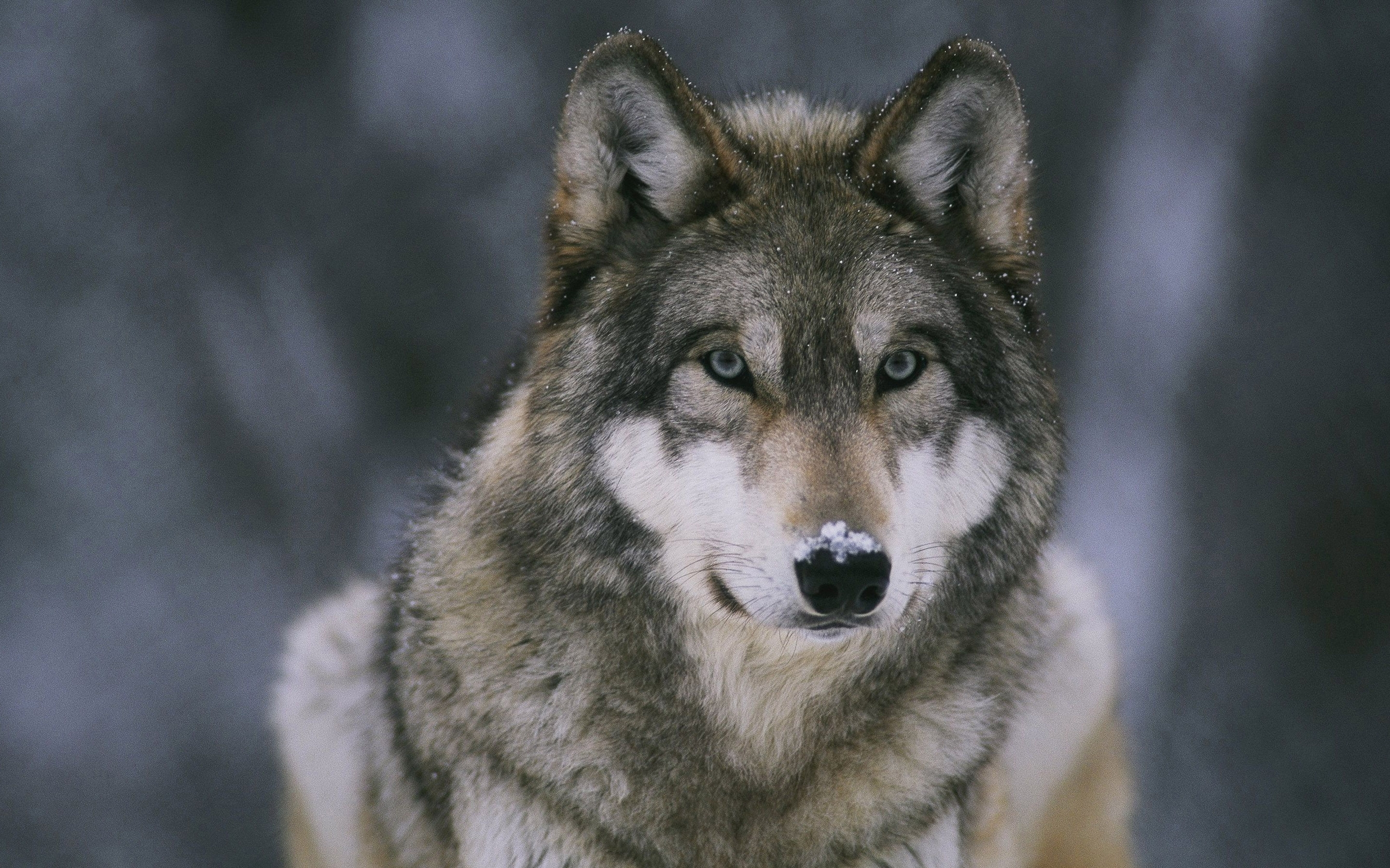 Hd wallpaper wolf - Wolf Image
