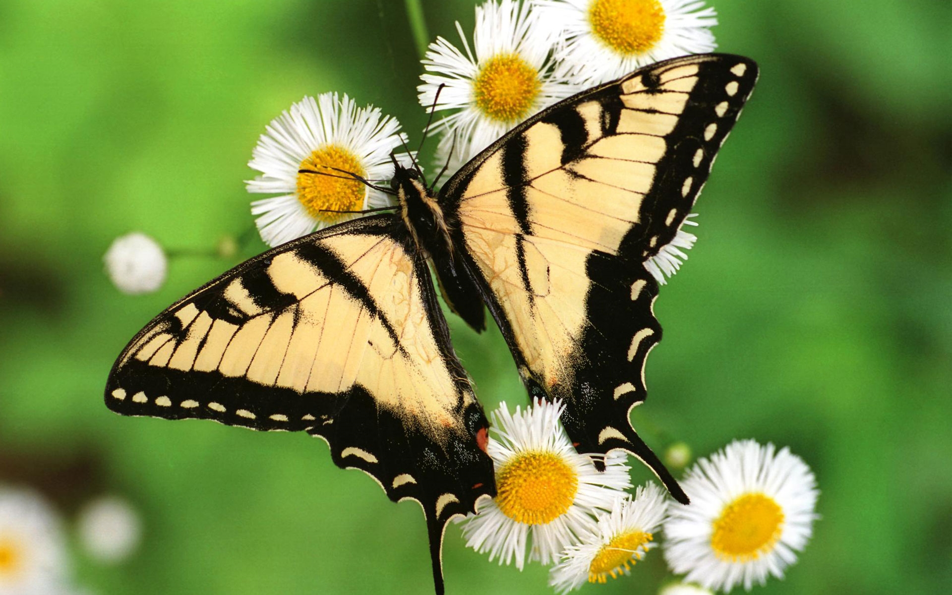 butterflies full hd