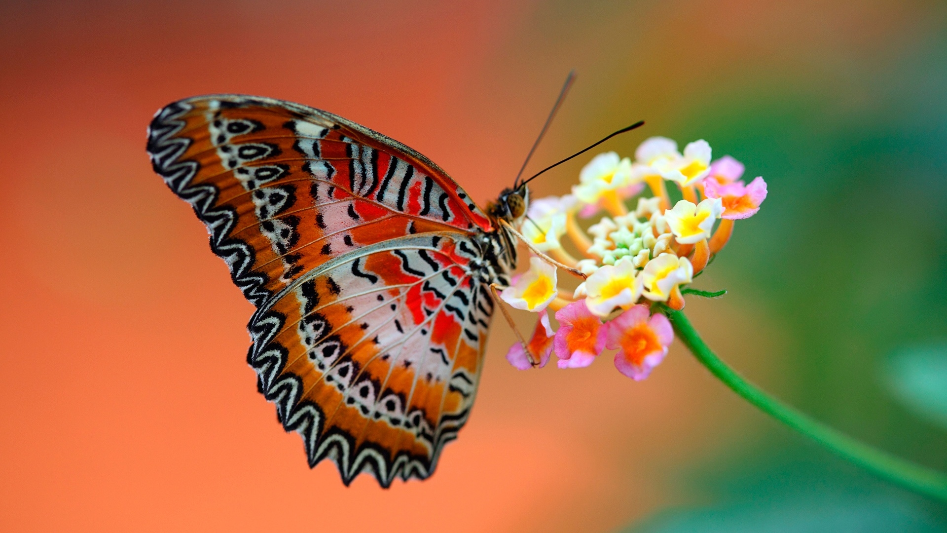 butterflies hd