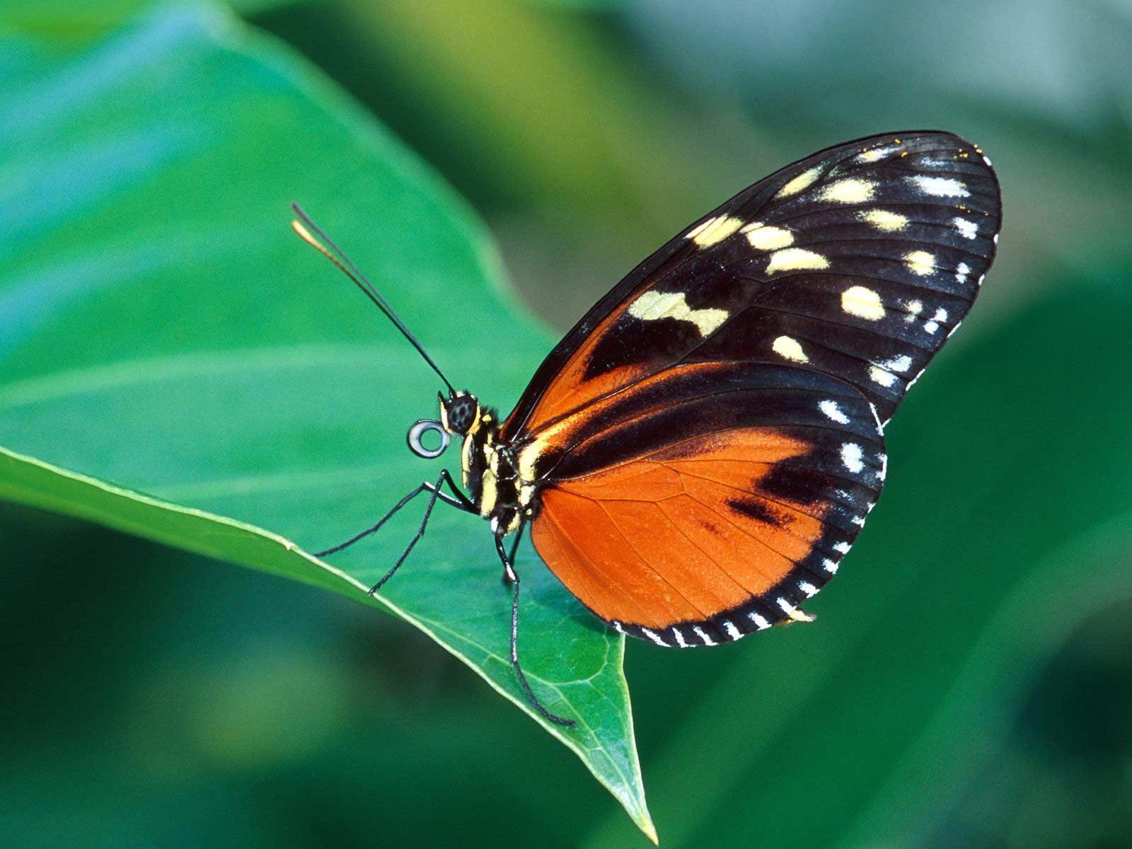 butterflies pictures