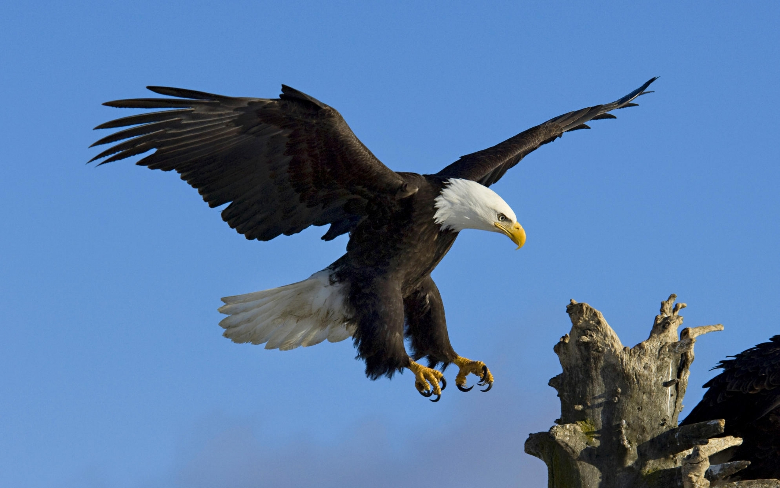 Eagle Wallpapers Free Download