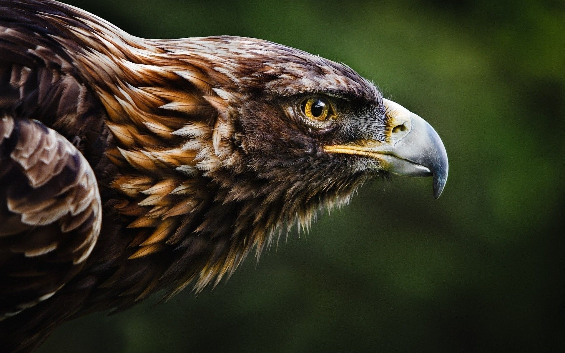 eagle free wallpapers