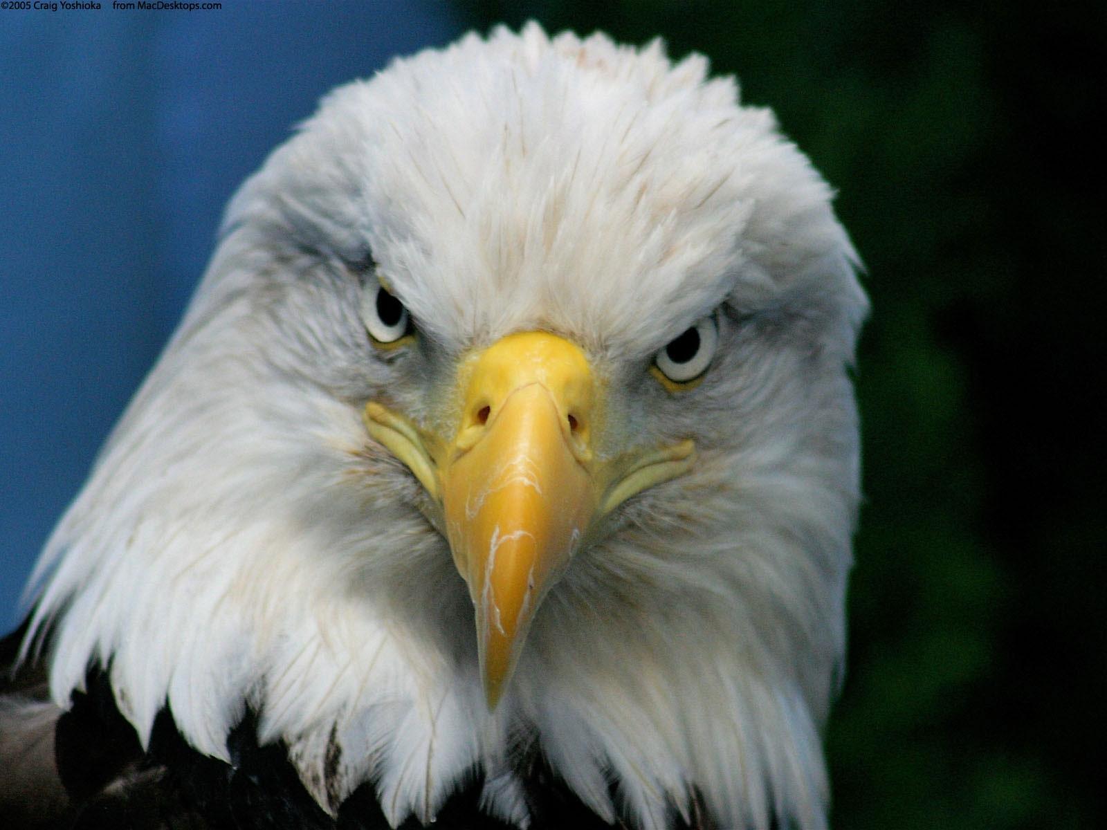 eagle hd background