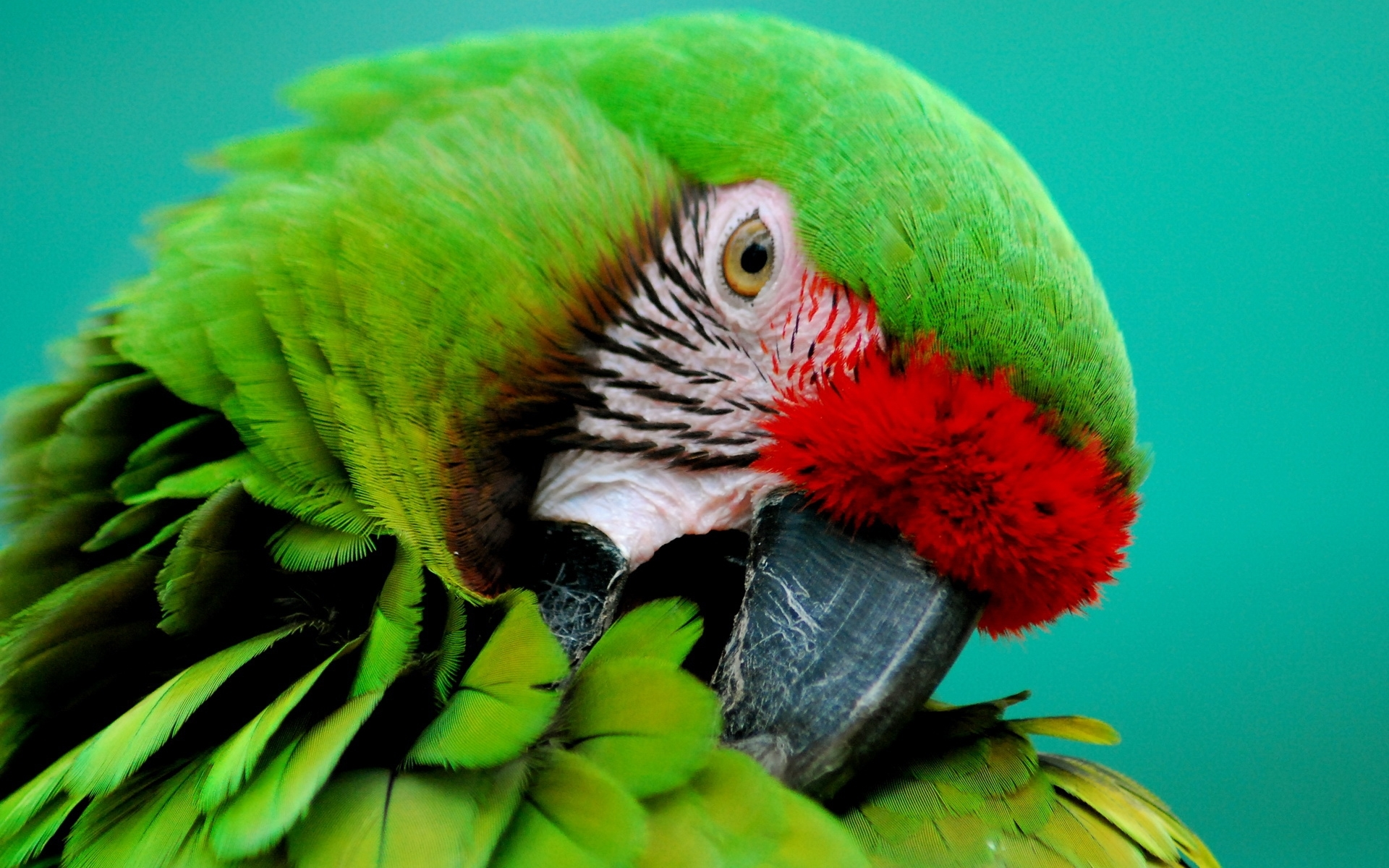 parrot 1080