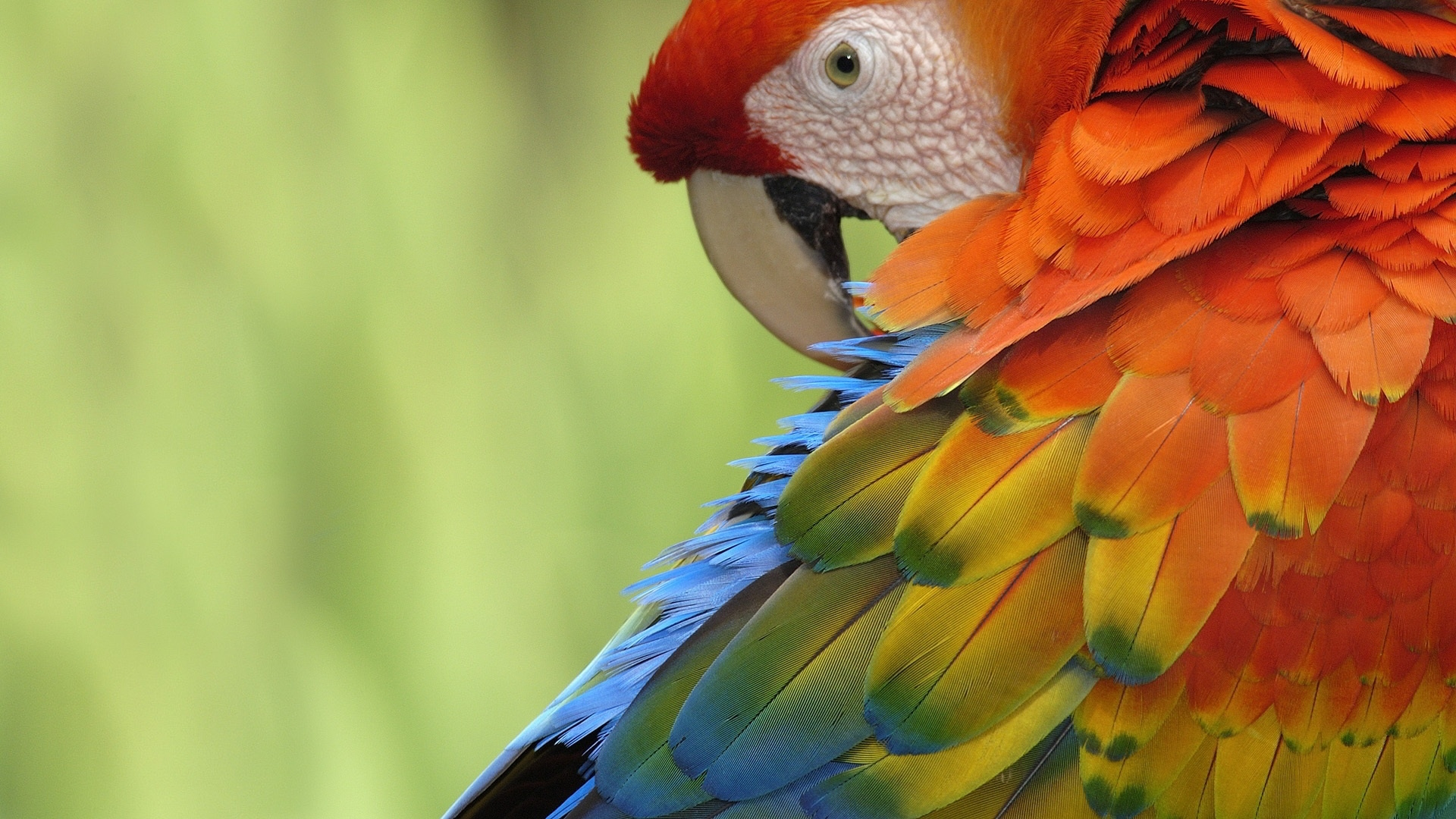 parrot free wallpapers