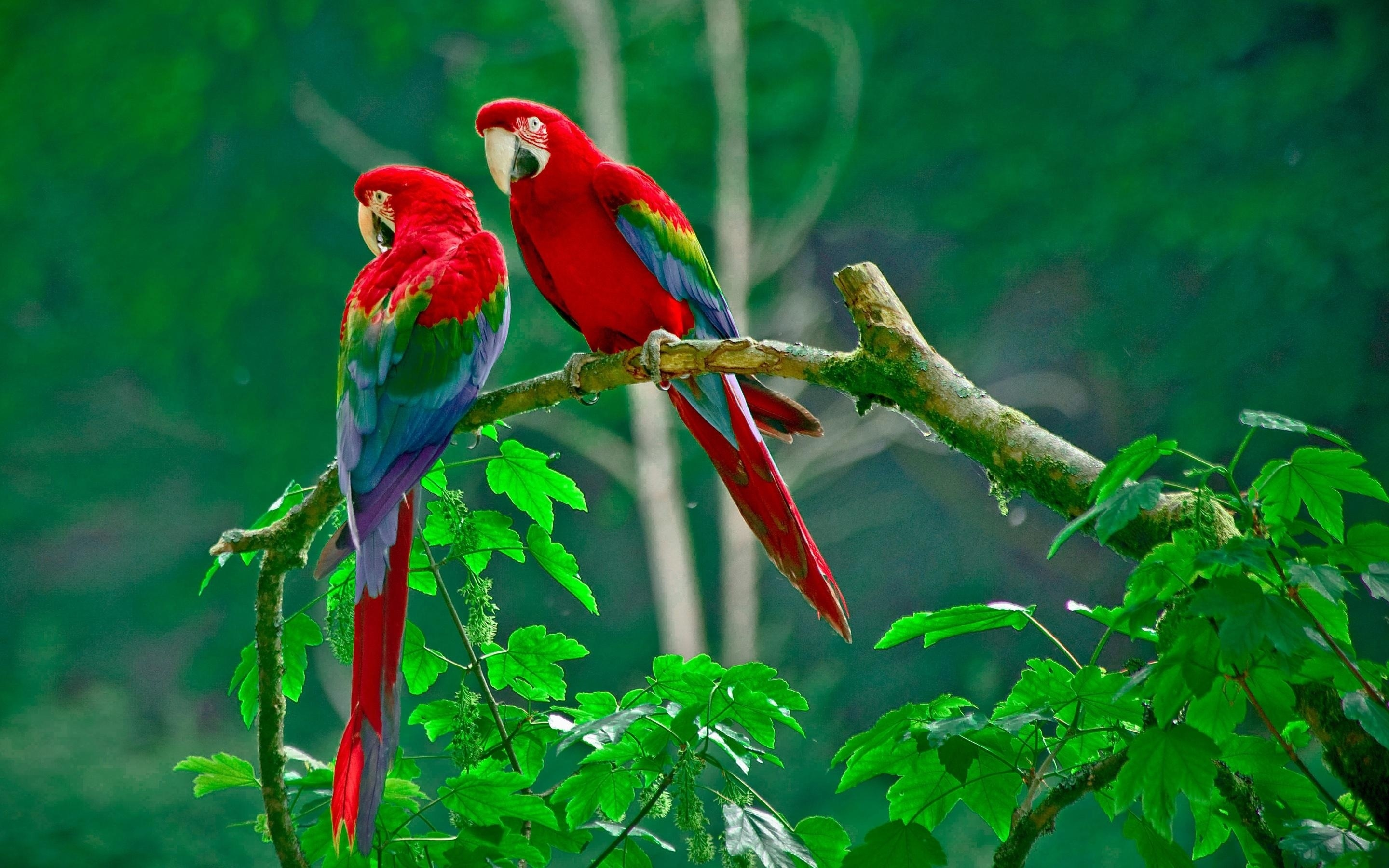 parrot high quality wallpapers