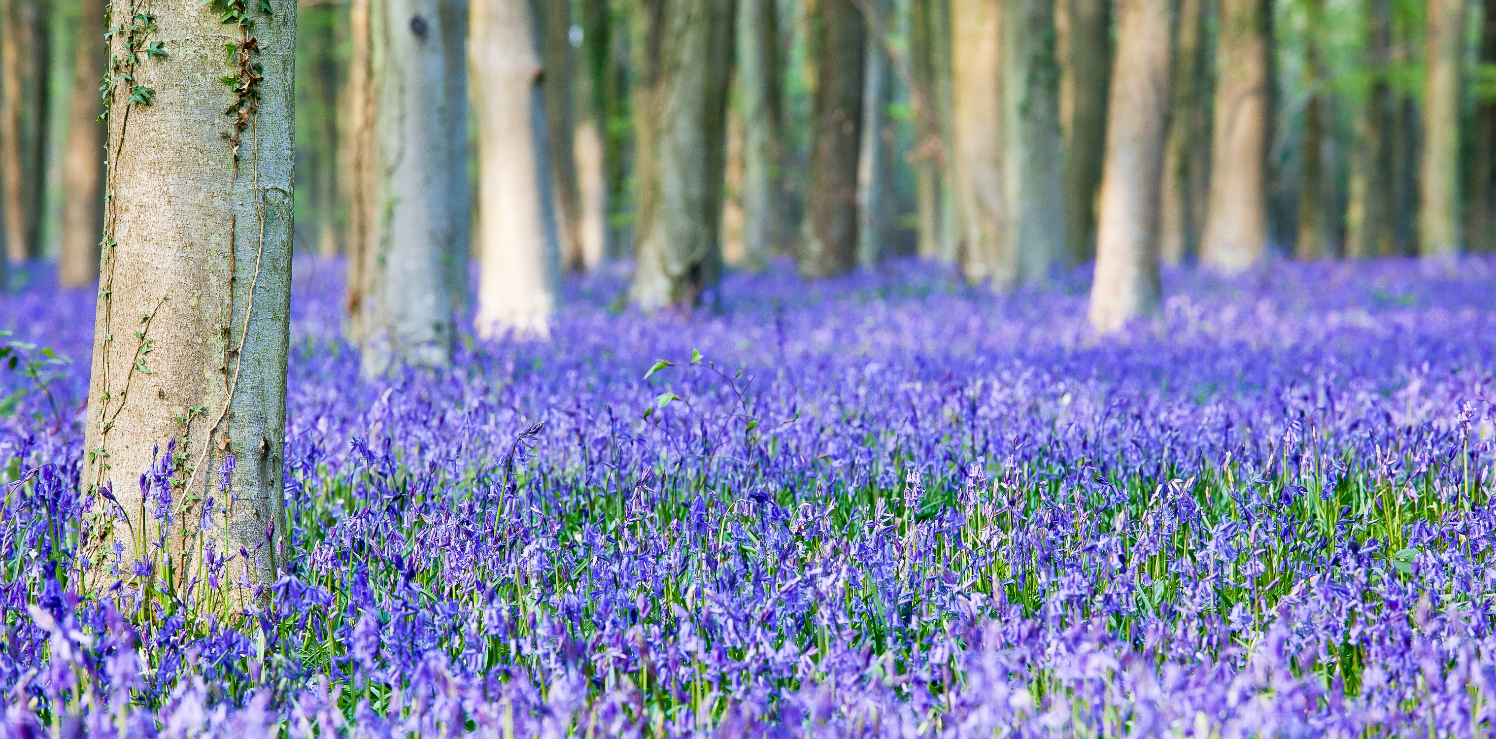 bluebell desktop wallpaper