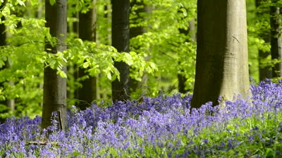 bluebell download wallpaper